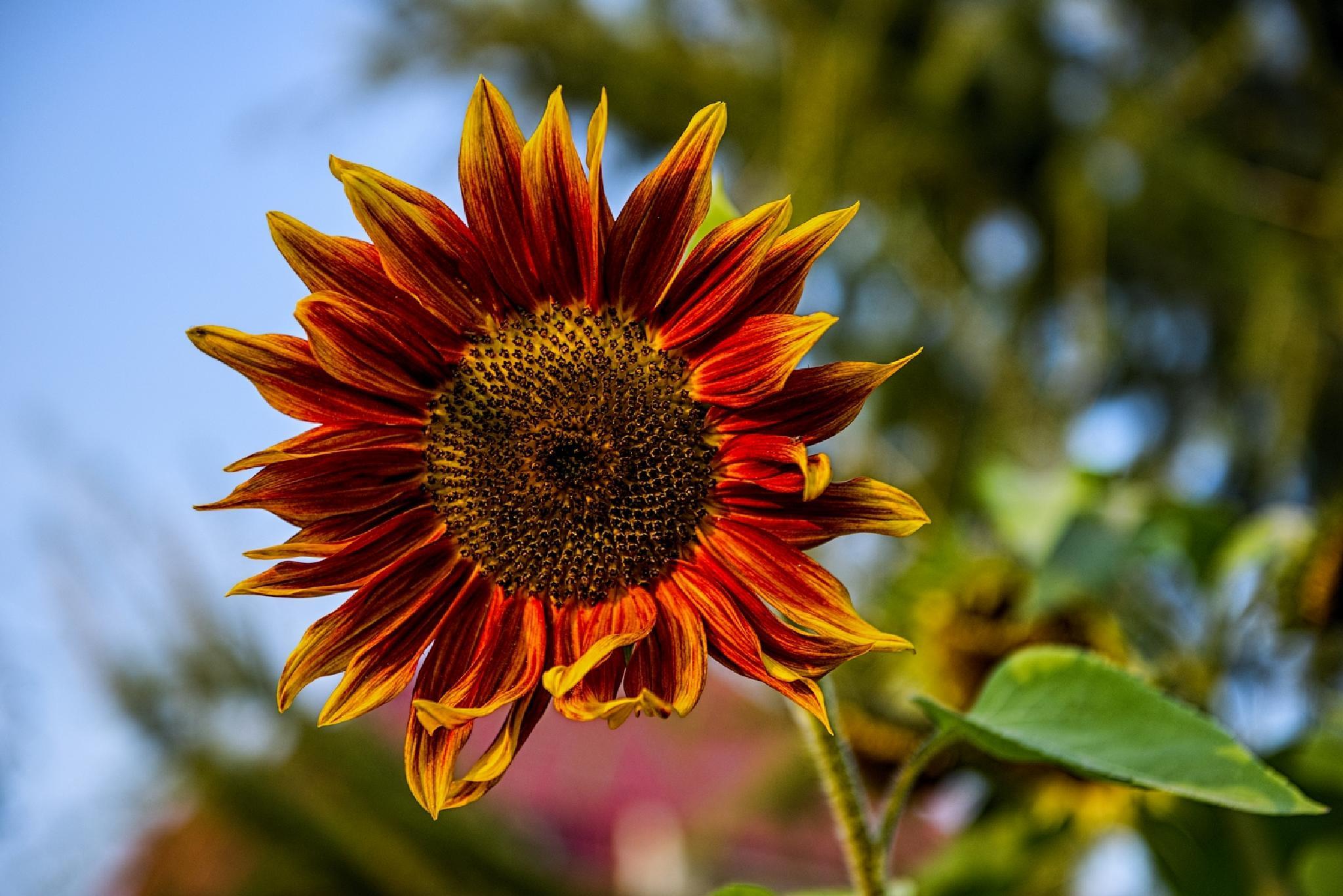 Colorful sunflower by Waldemar Sadlowski
