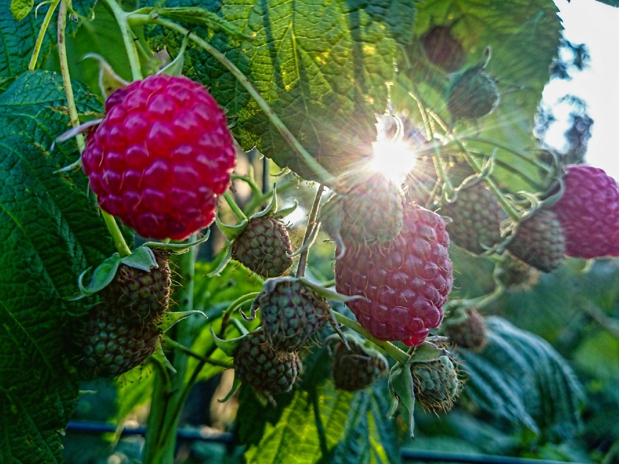 Raspberries in the sun by Waldemar Sadlowski