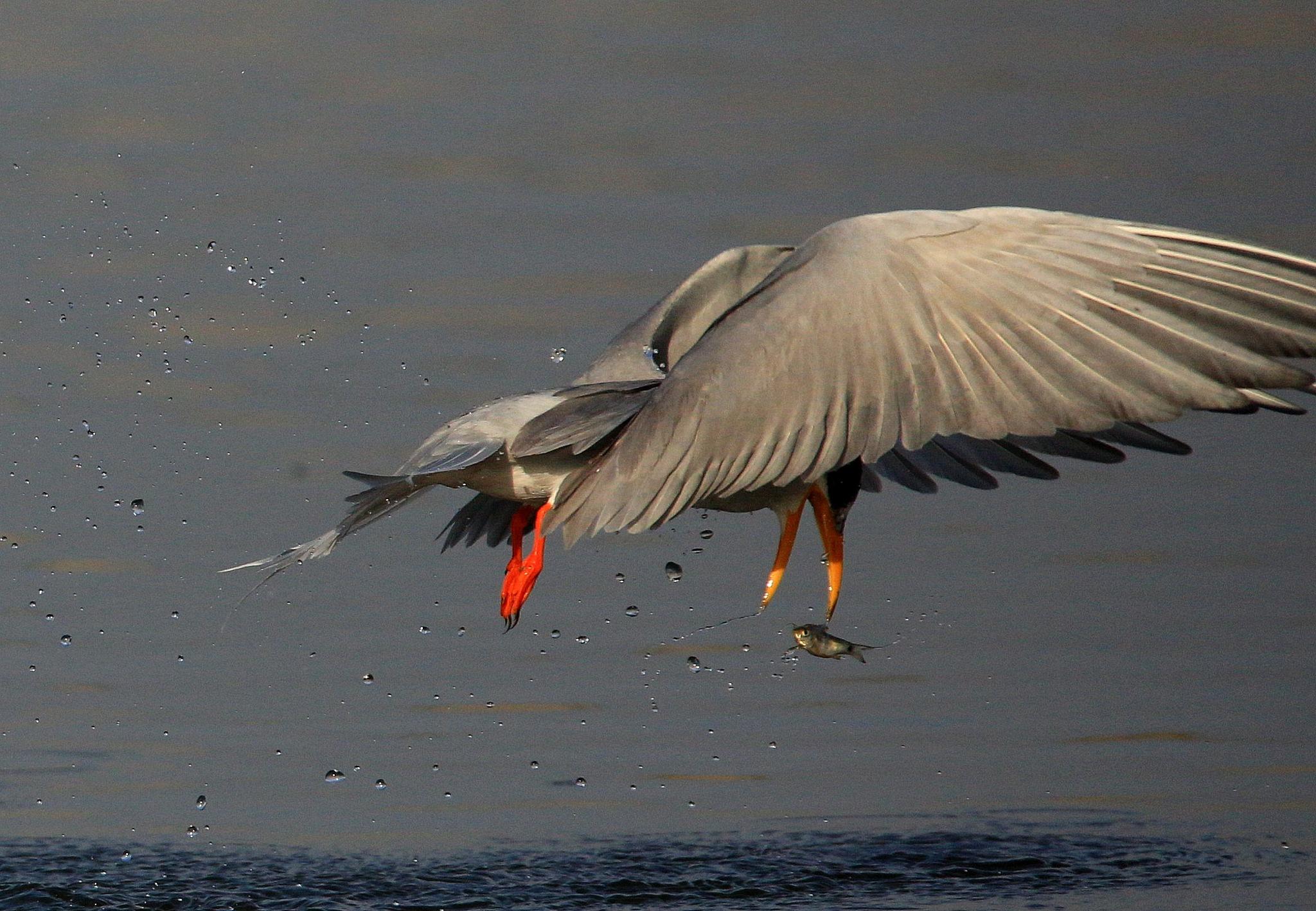Fish by Kishan Meena