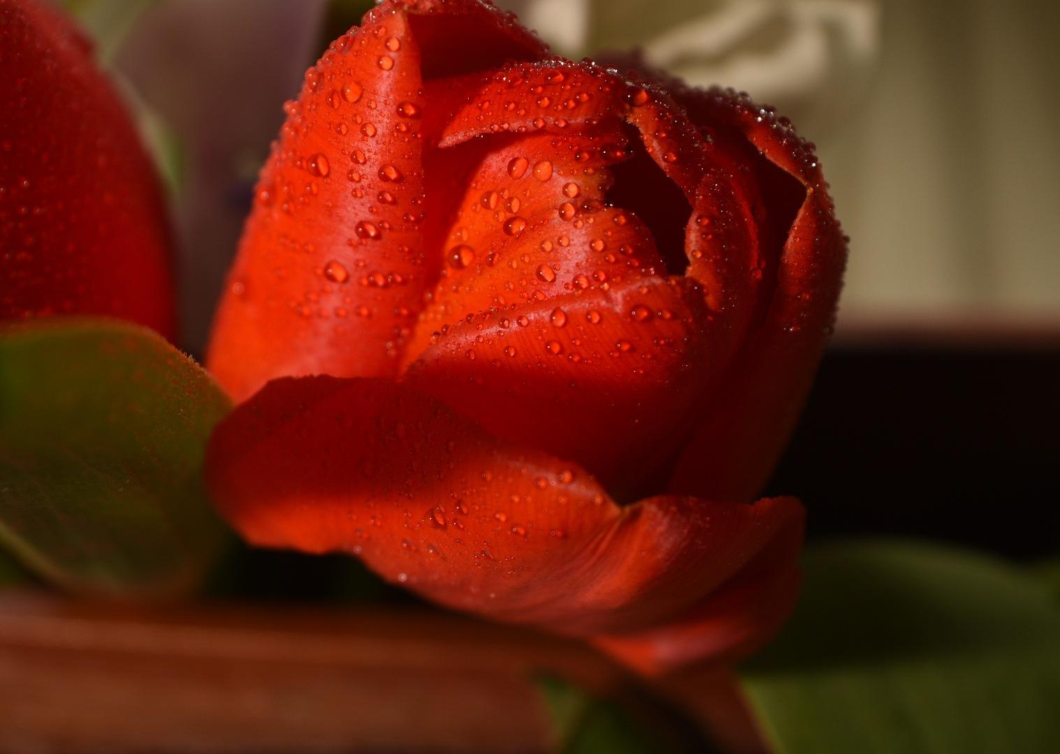 Red tulip by Toshio Sunada