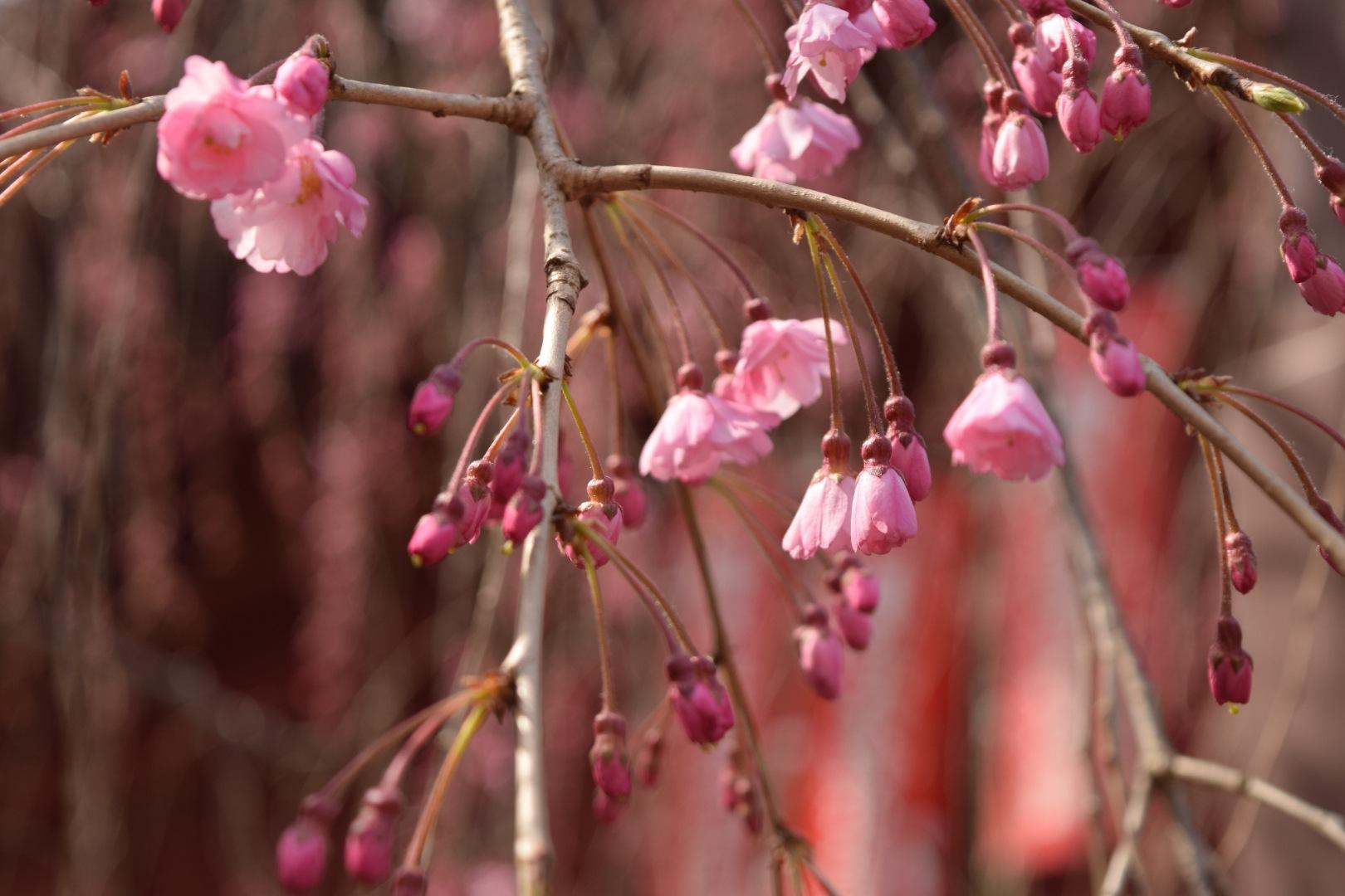 Cherry tree by Toshio Sunada