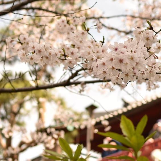 桜 by Toshio Sunada