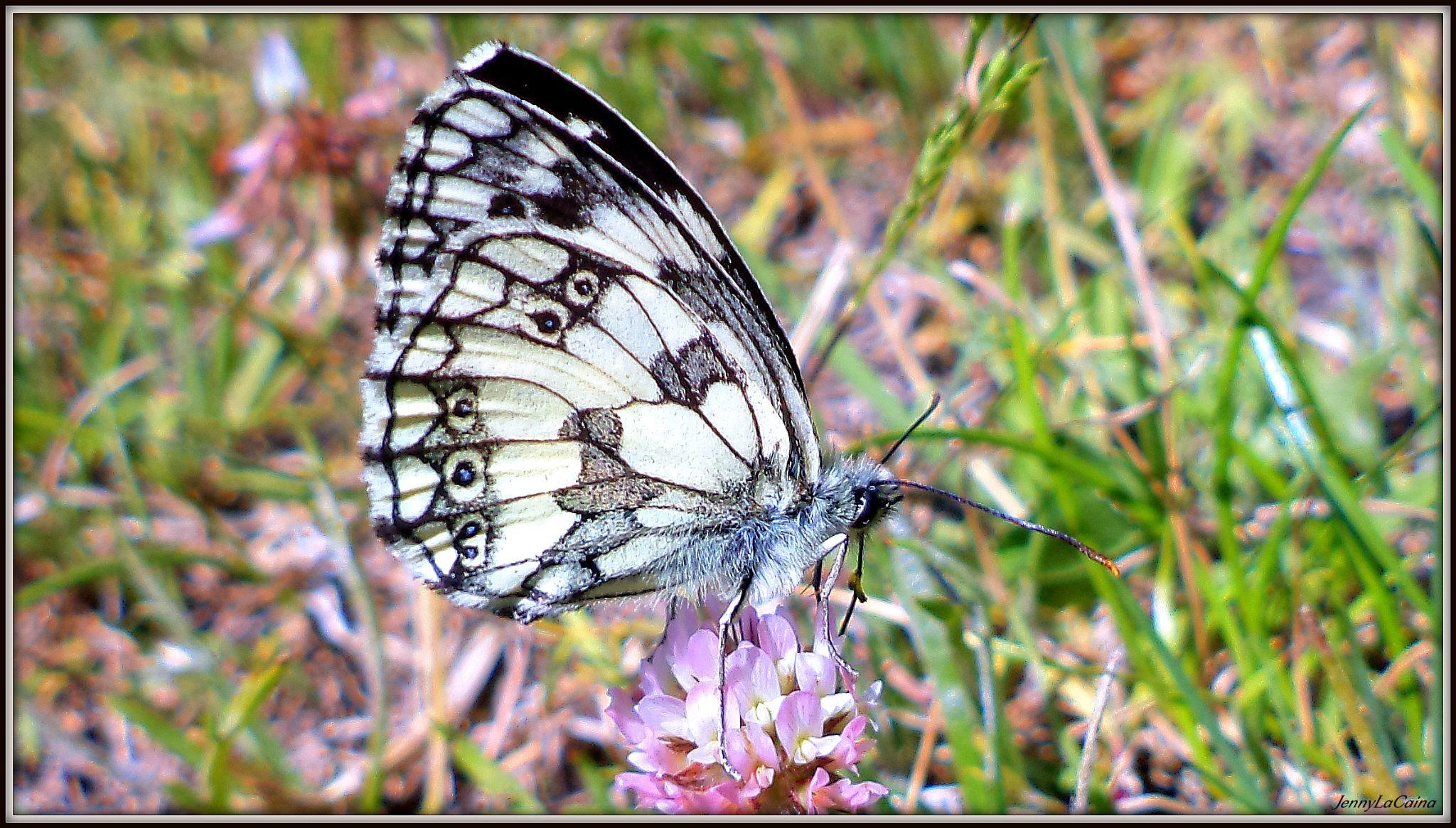 Papillon  by JennyLaCaina