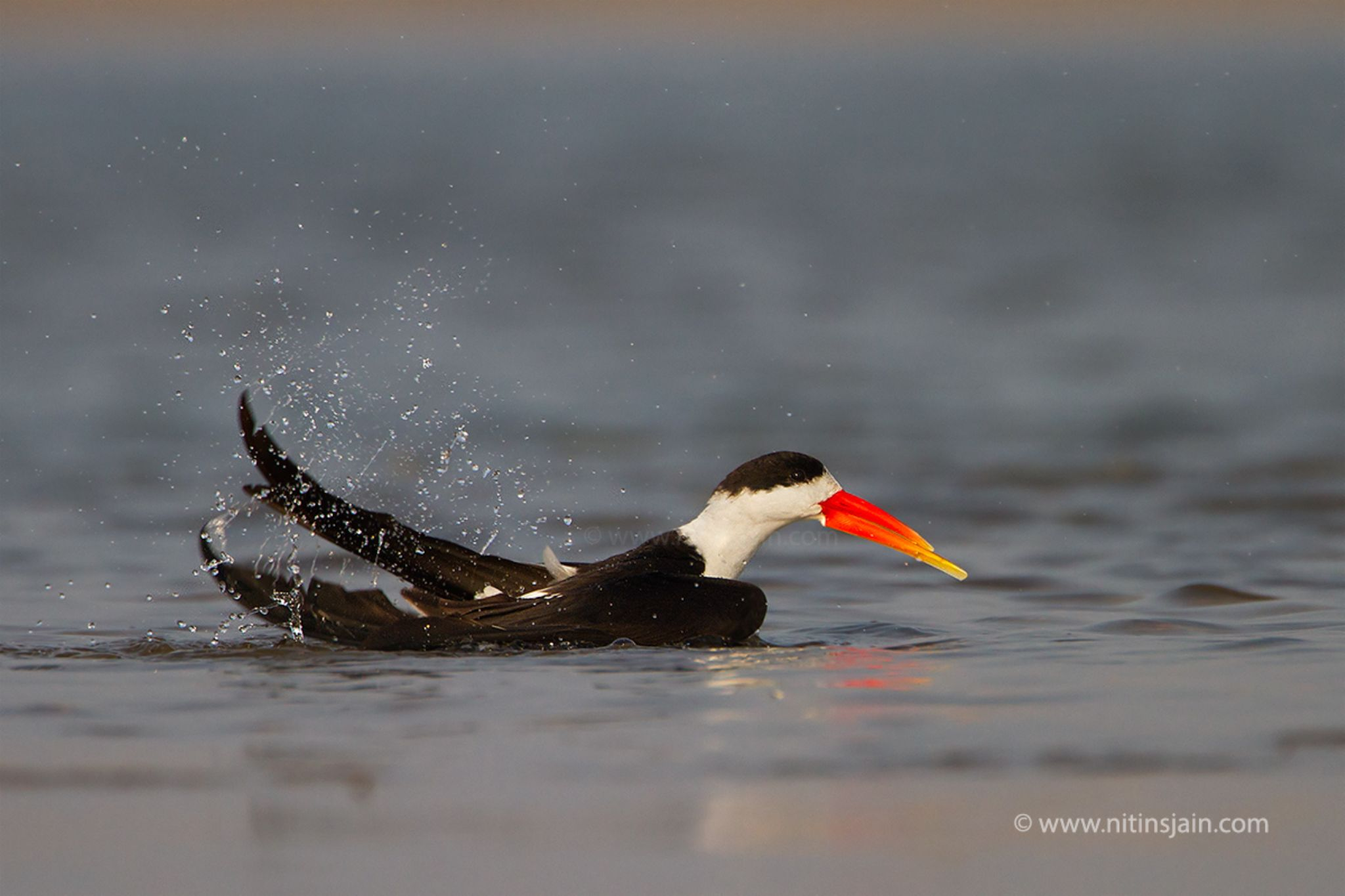 Indian Skimmer by nitin76