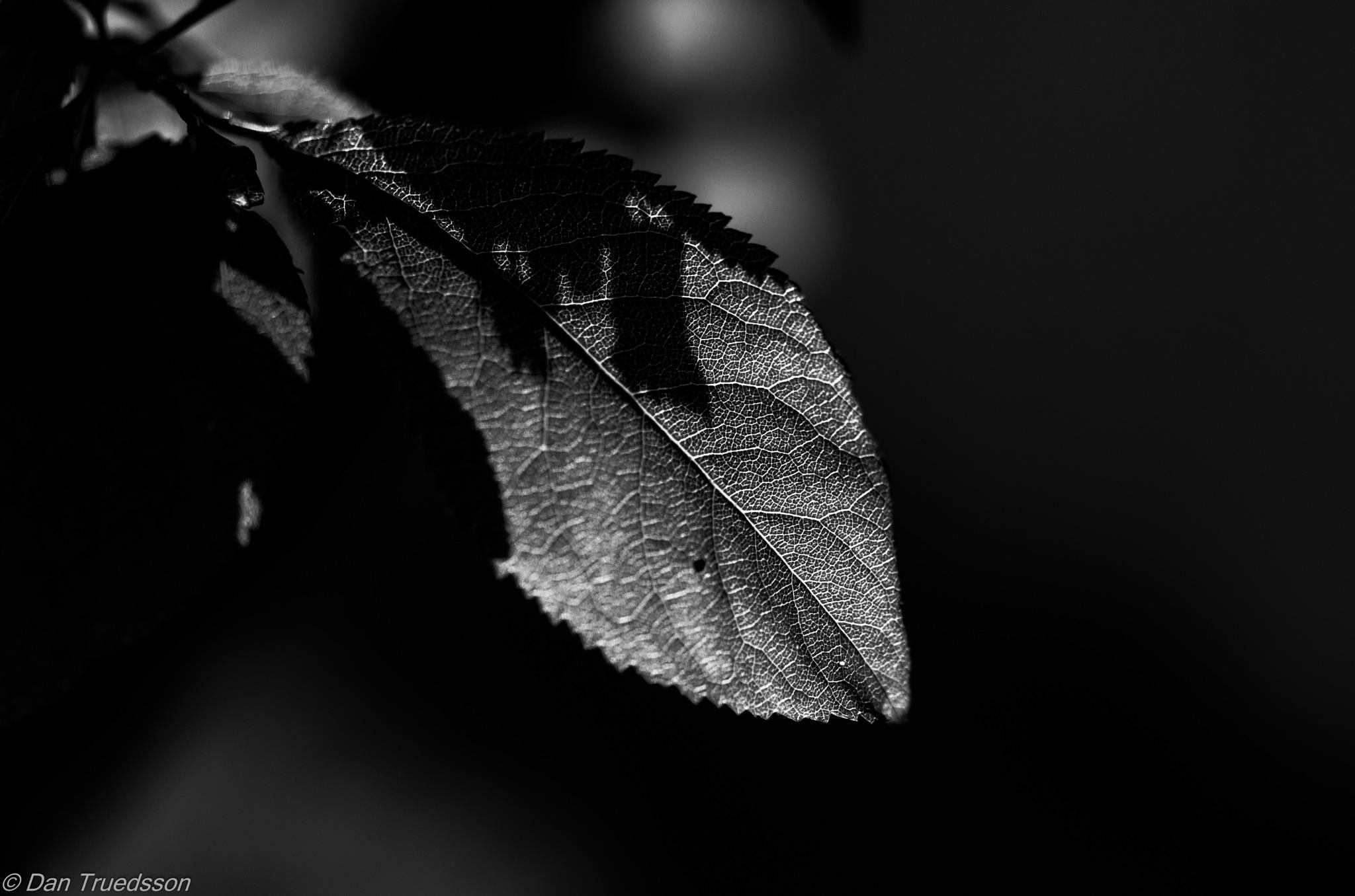 Leaves in backlight by Dan Truedsson