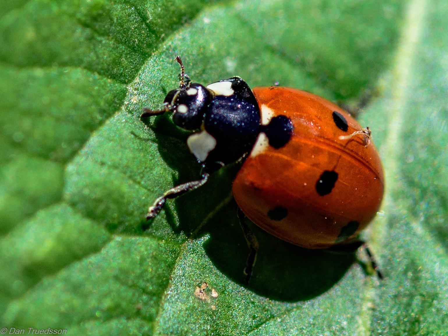 Ladybird by Dan Truedsson