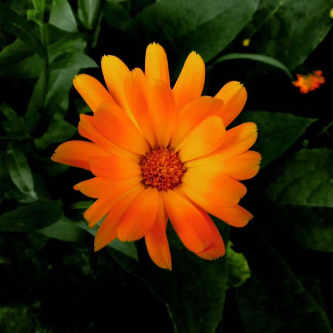 Orange Flower.  by Karel Laczko
