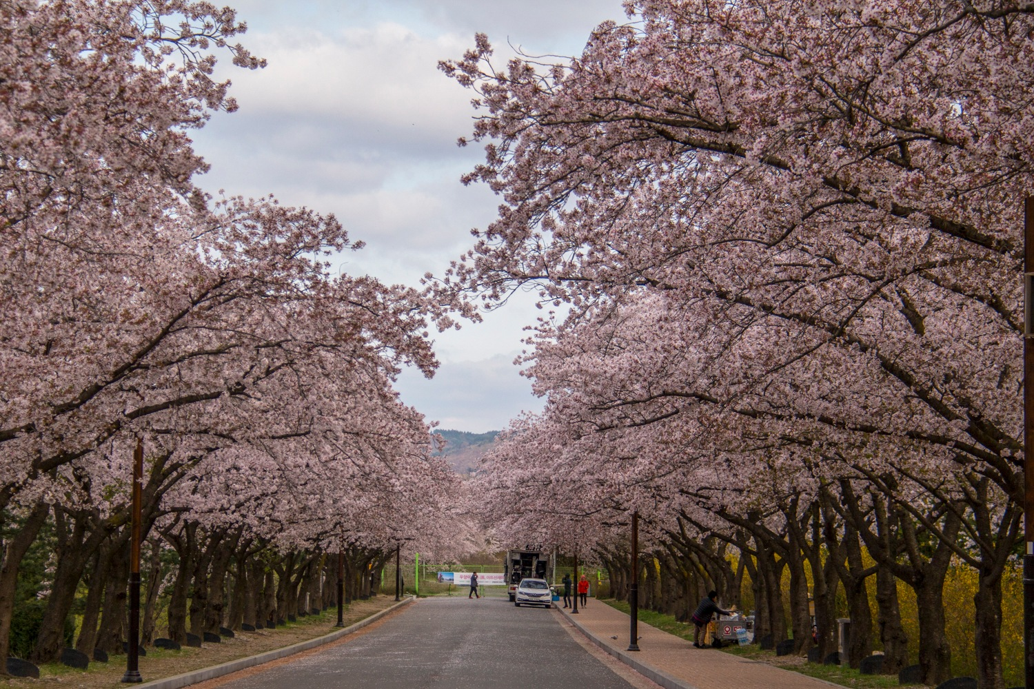 Cherry blossom by Experienced Traveller