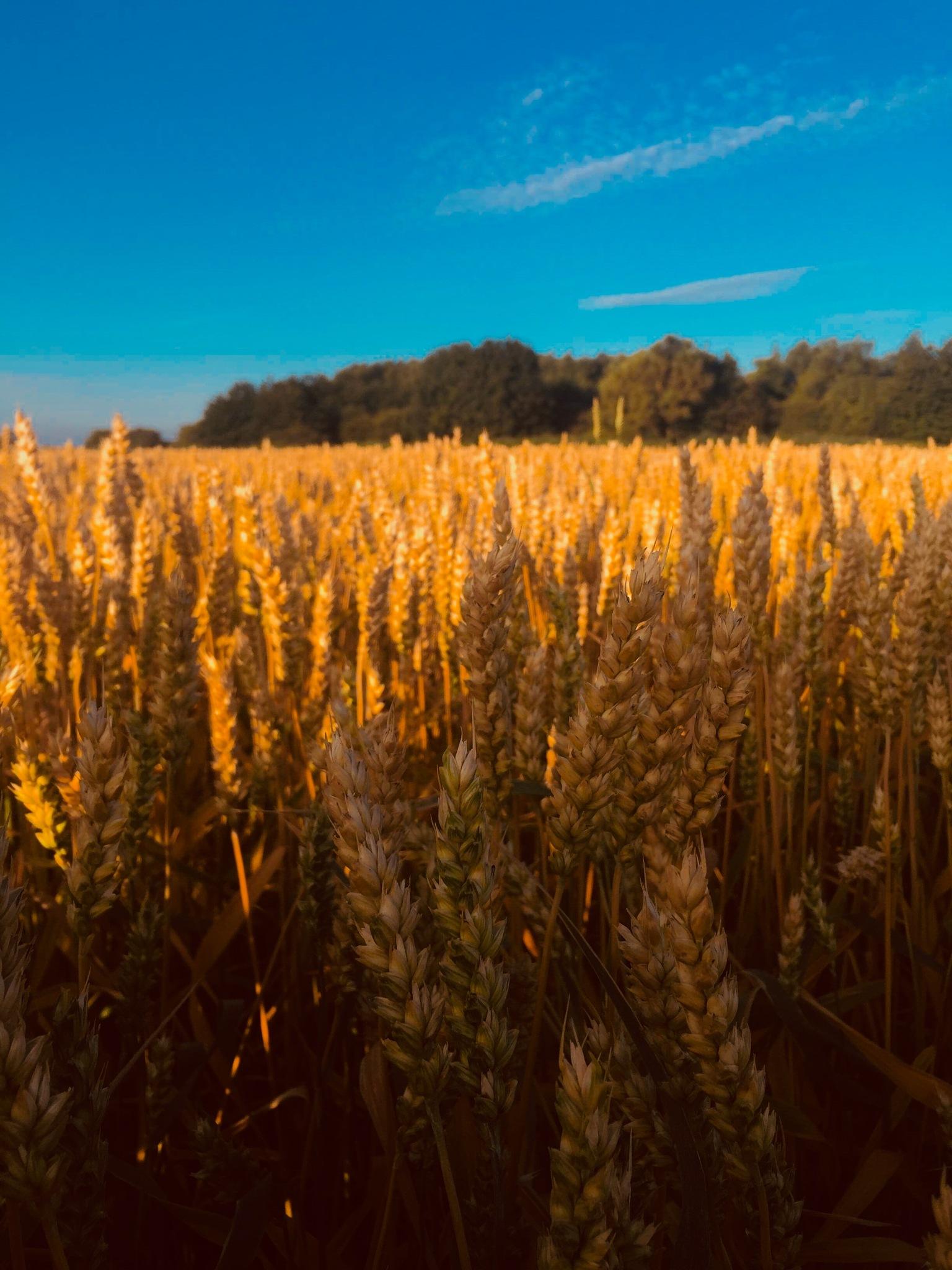 Wheat field by Tazmin Buckingham