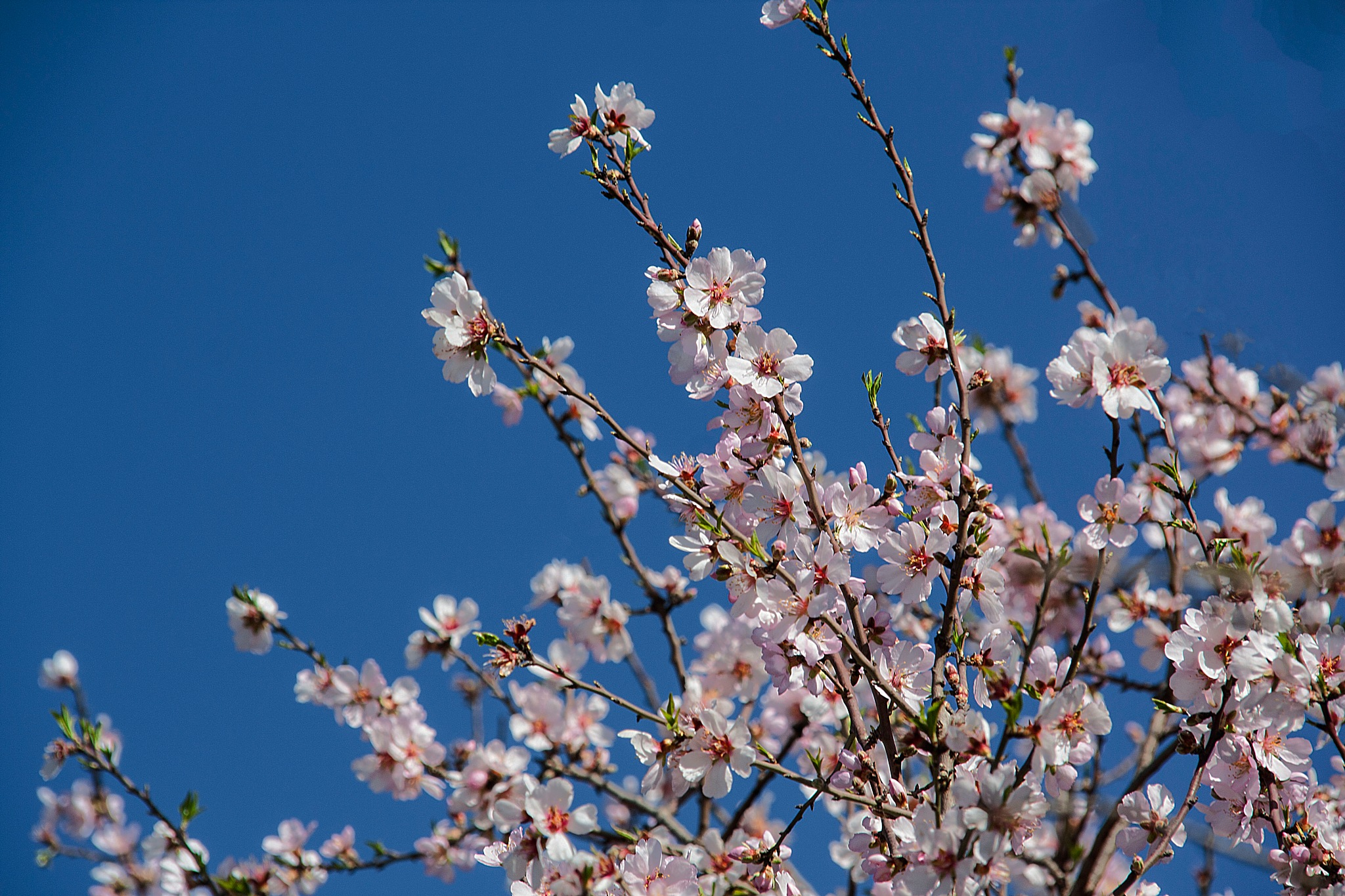 The Almond tree is blooming... by Rebecca Danieli