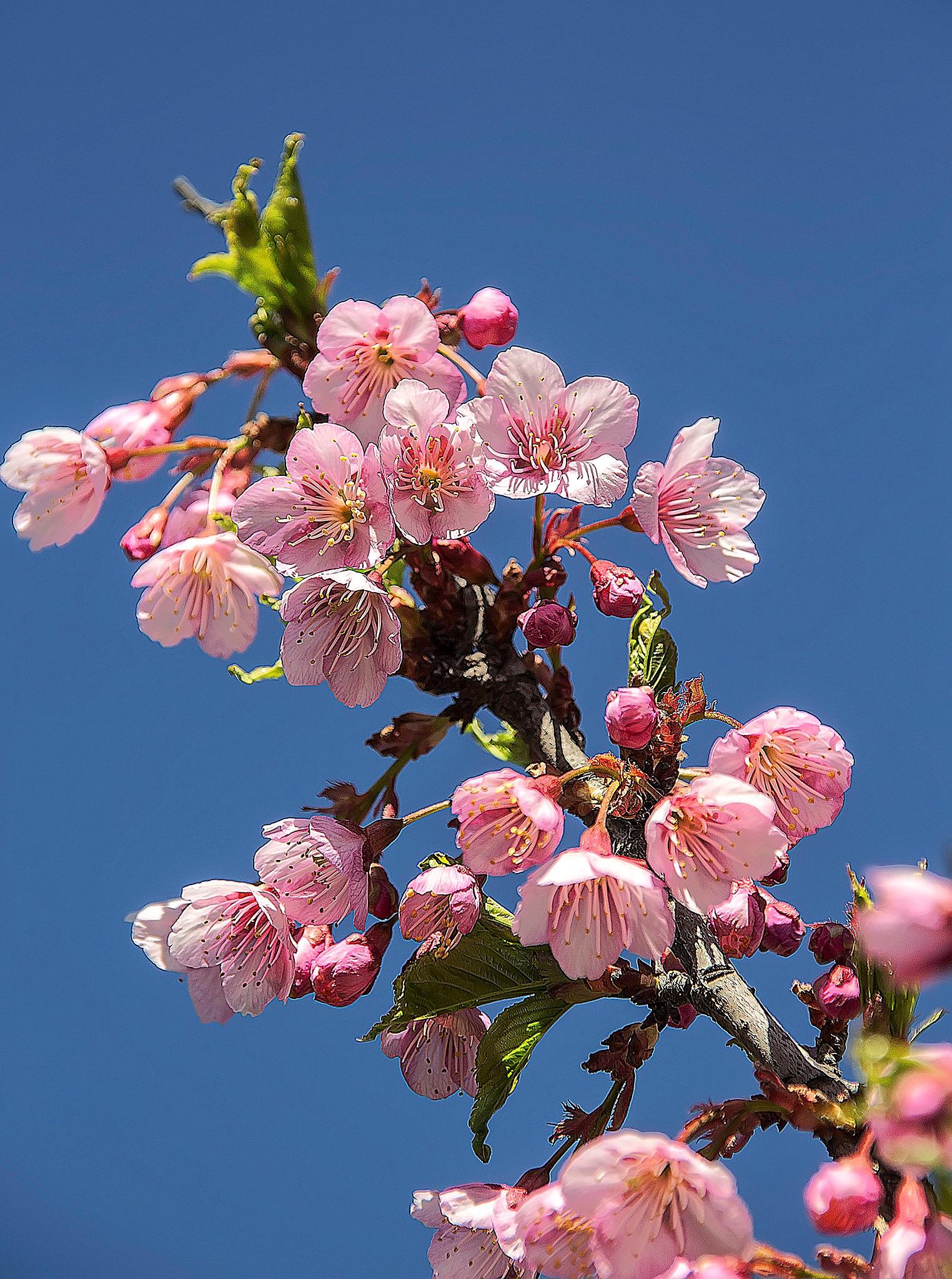 Cherry Blossom by Rebecca Danieli