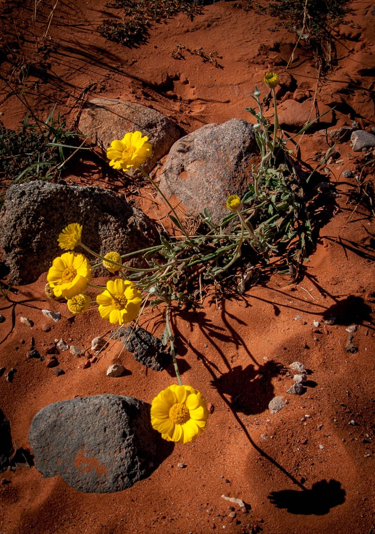 Desert Flower at Sunset by John Chapman