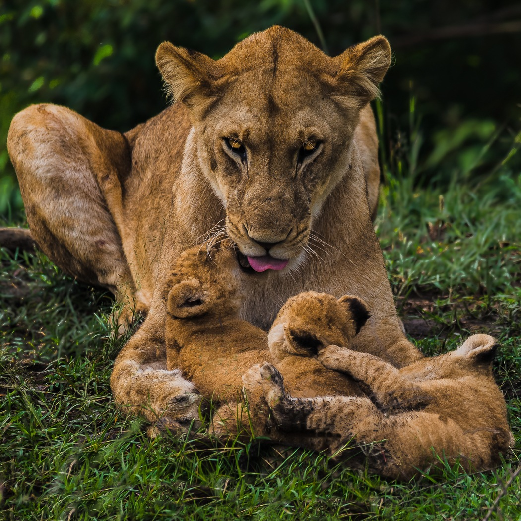 Lioness and Cubs by John Chapman