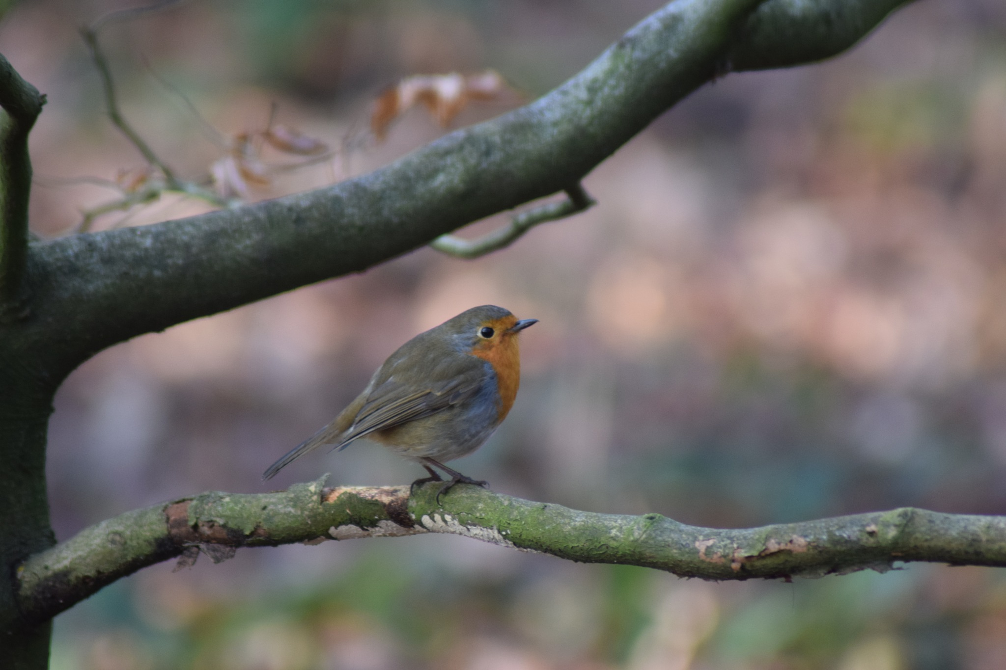 Winter Robin by Graham Purser
