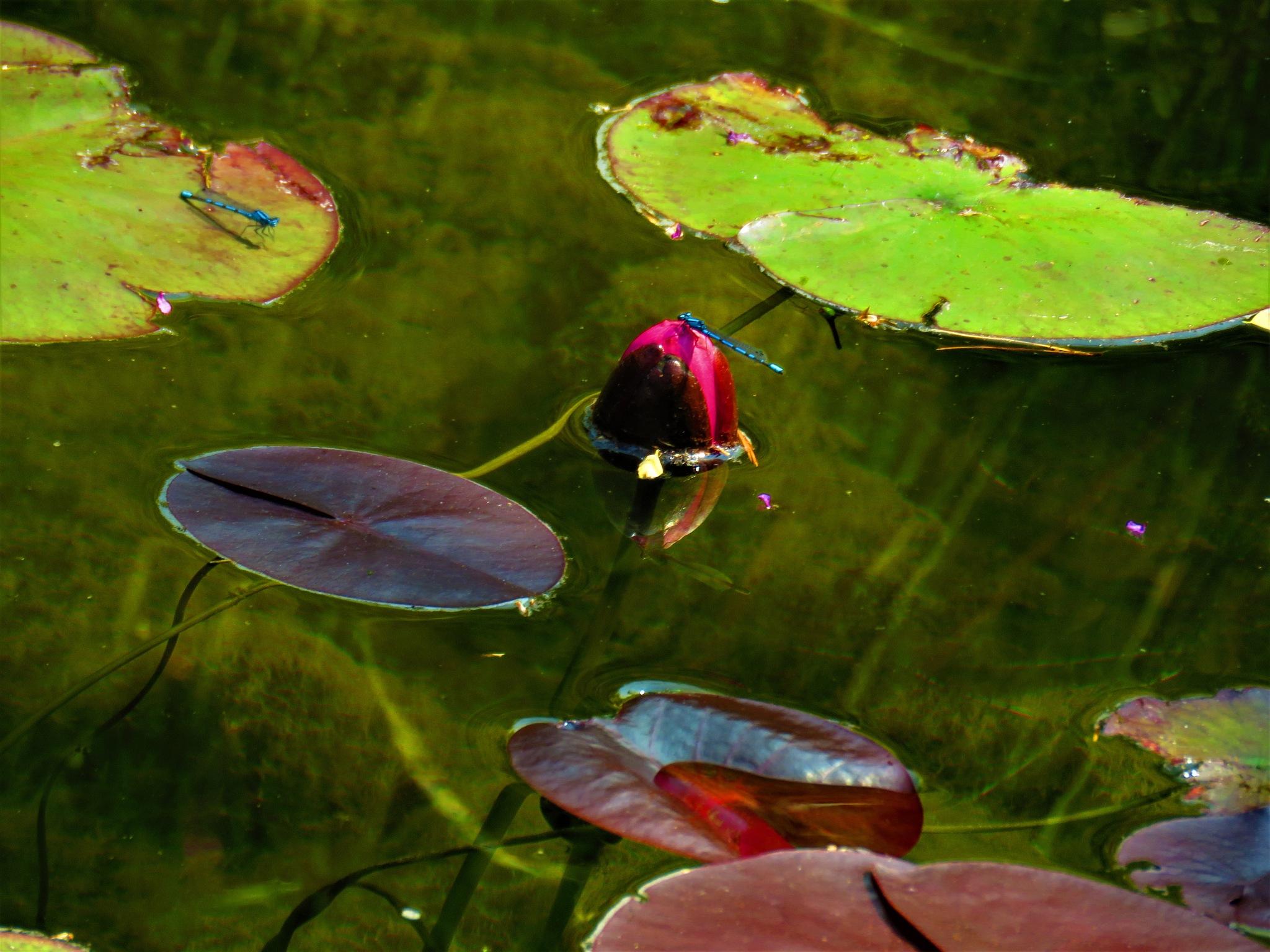 Waterlelieknop met juffers by Marianne Krijgsman