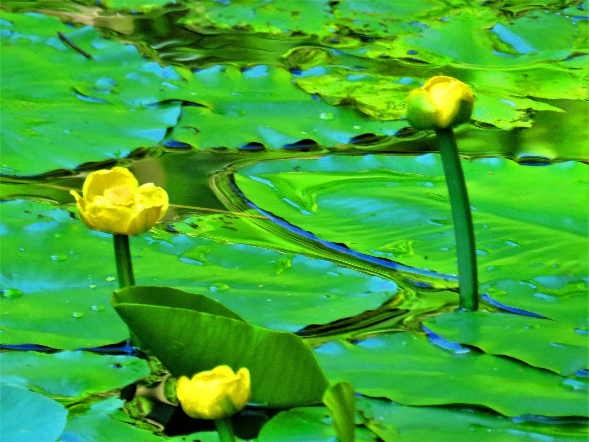 Waterlelies by Marianne Krijgsman