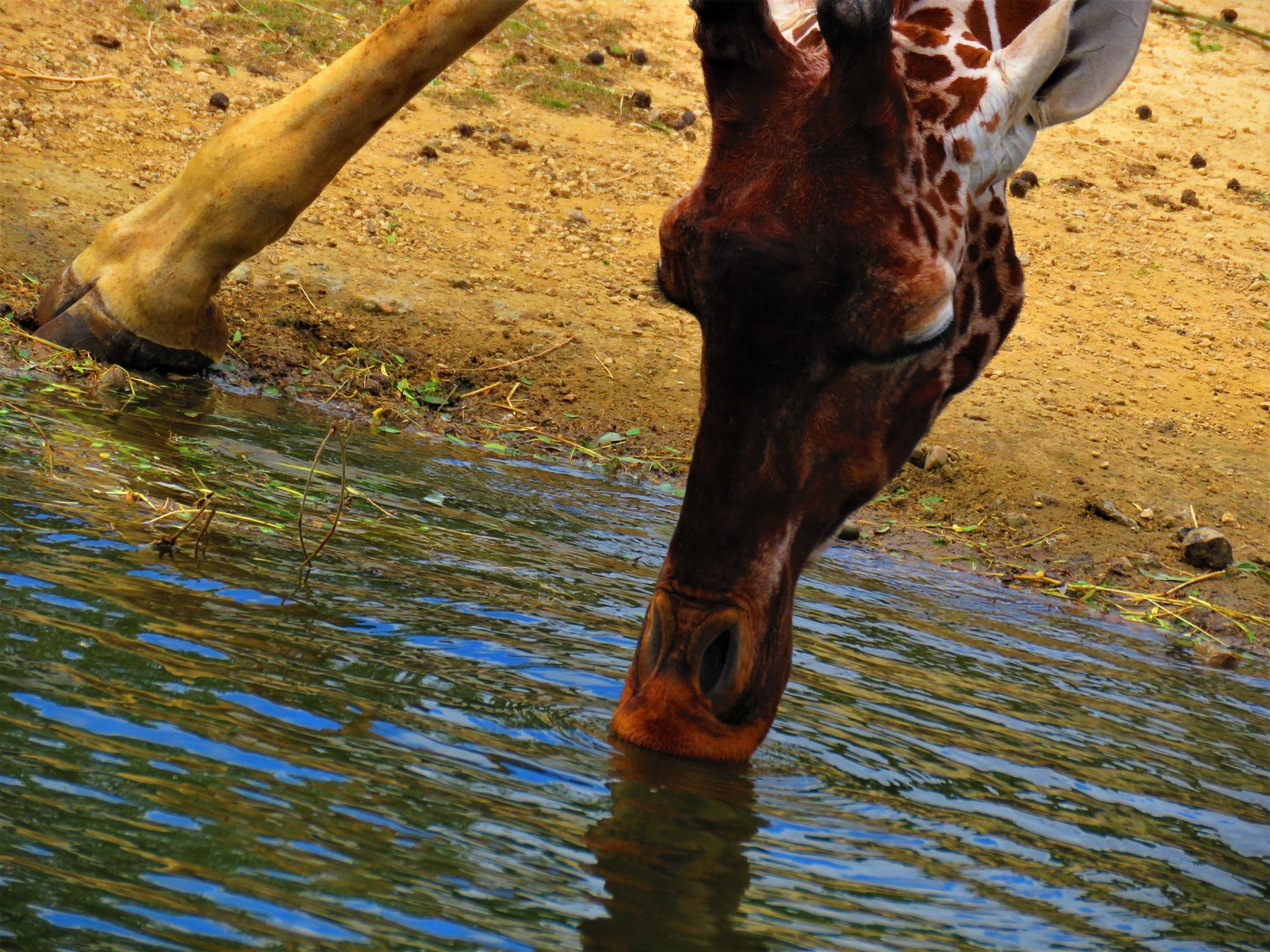 Giraffe by Marianne Krijgsman
