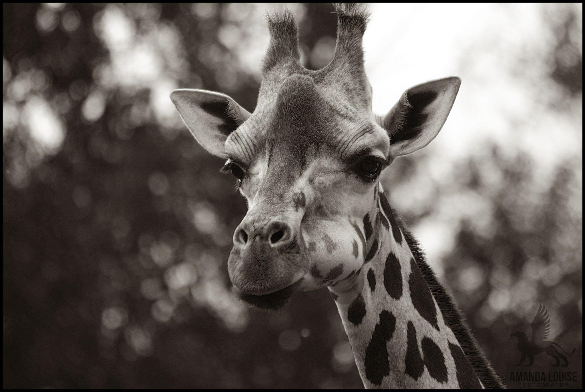 Giraffe by Amanda Louise Steele