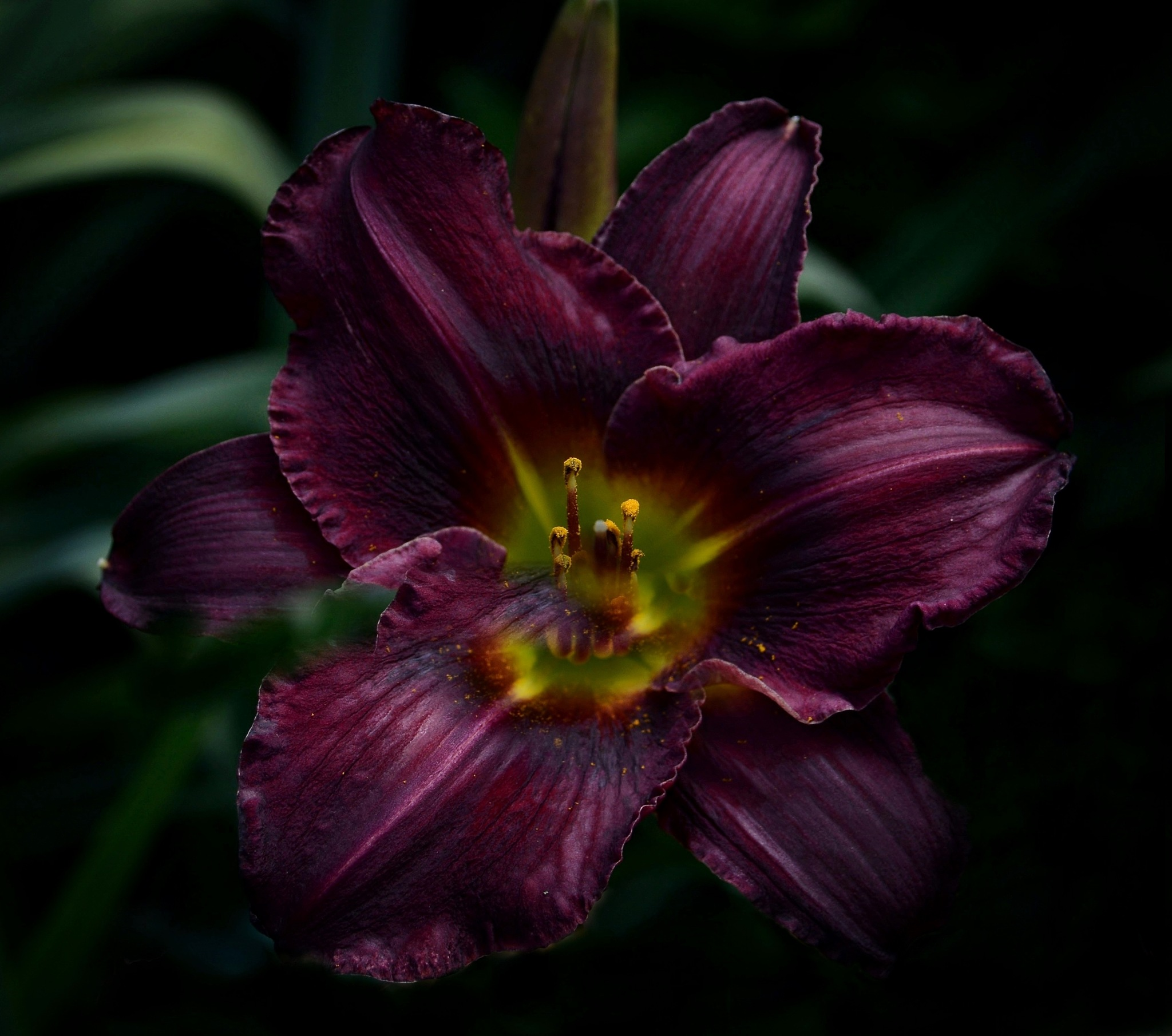 Purple Ruffles by Sandra Dedrick