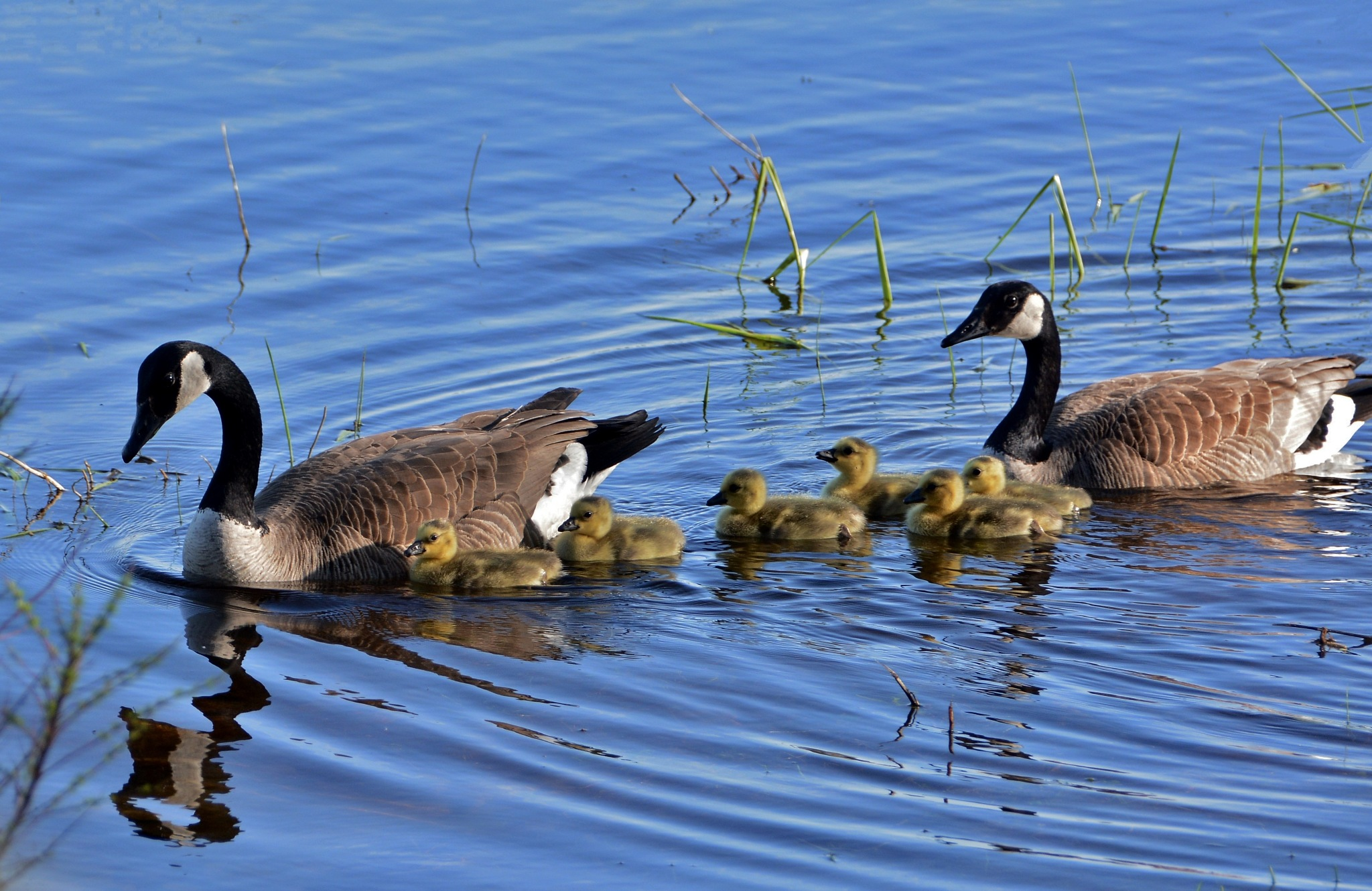 The Goslings are back! by Sandra Dedrick
