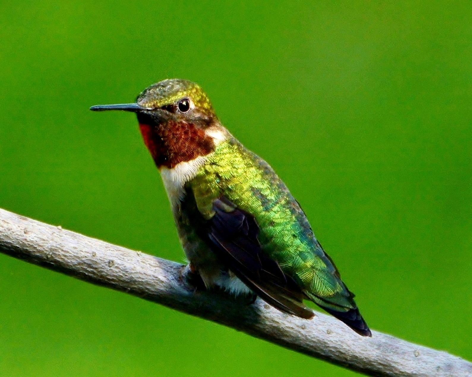 Hummingbird by Sandra Dedrick