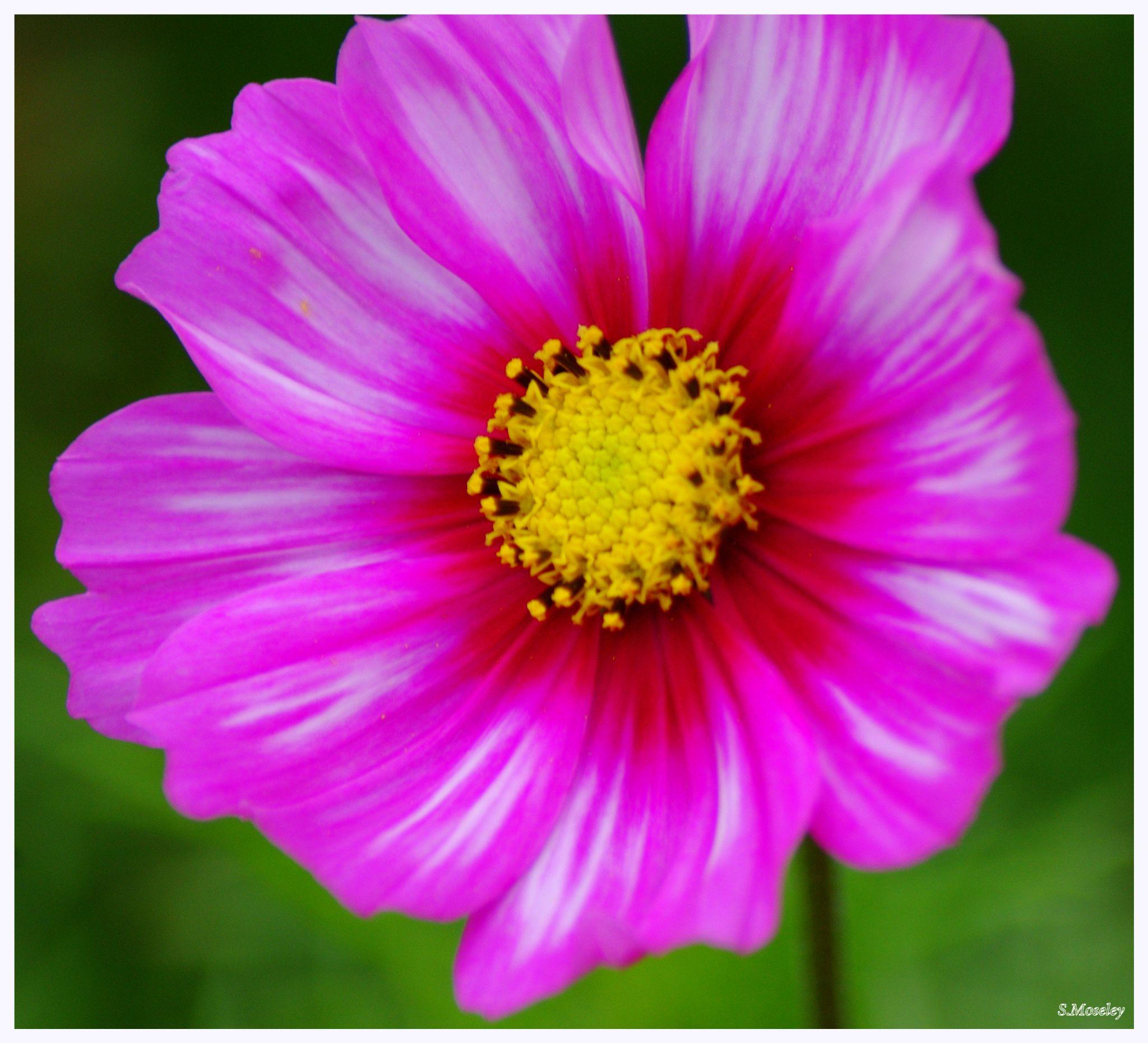 """""""Pure Beauty"""" by Sophia Moseley"""