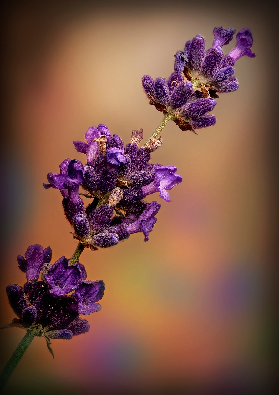 Lavandula angustifolia 'Hidcote Blue' (8279) by Cor de Keijzer