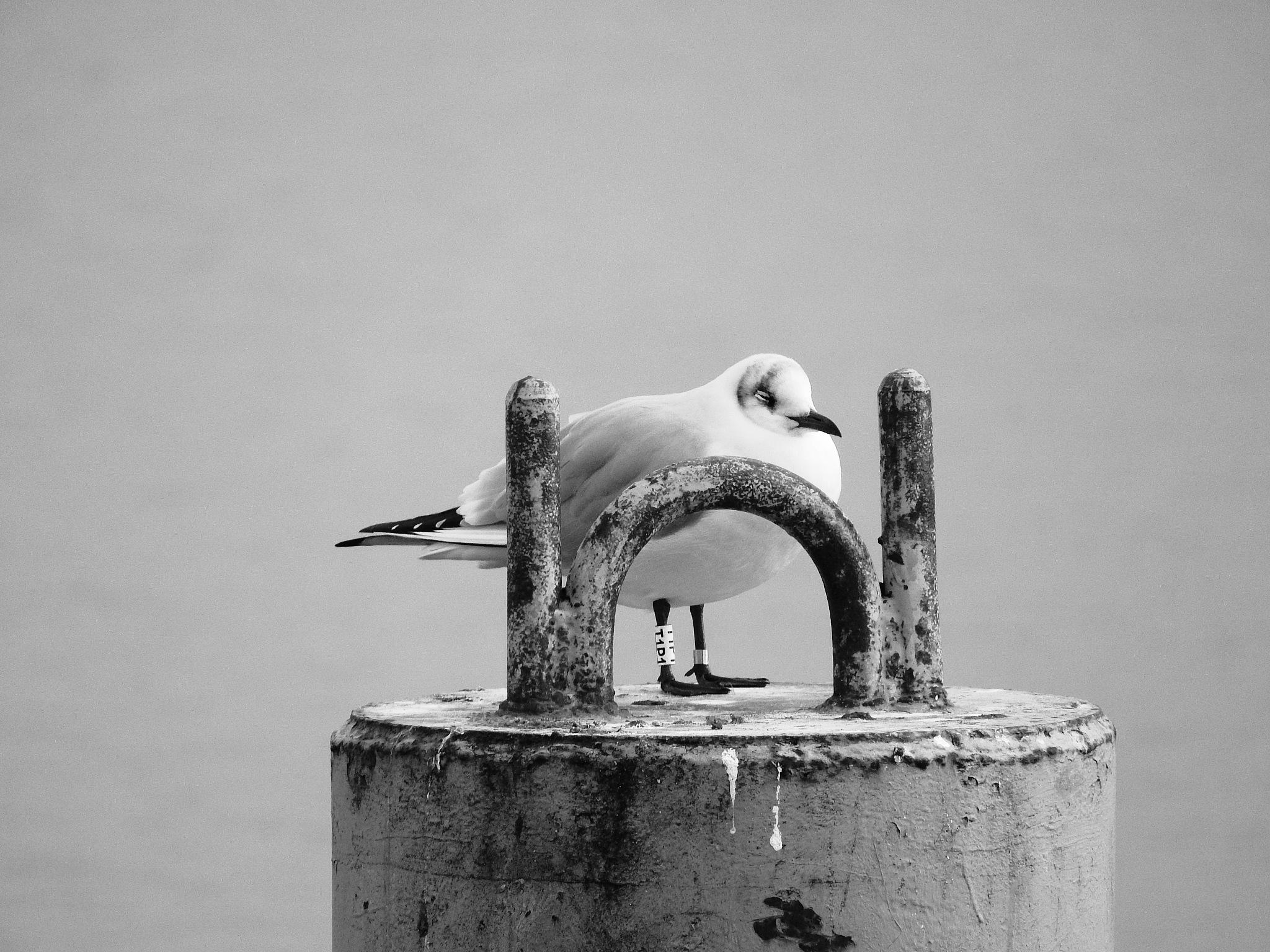 sleepy seagull  by kot_pachinko