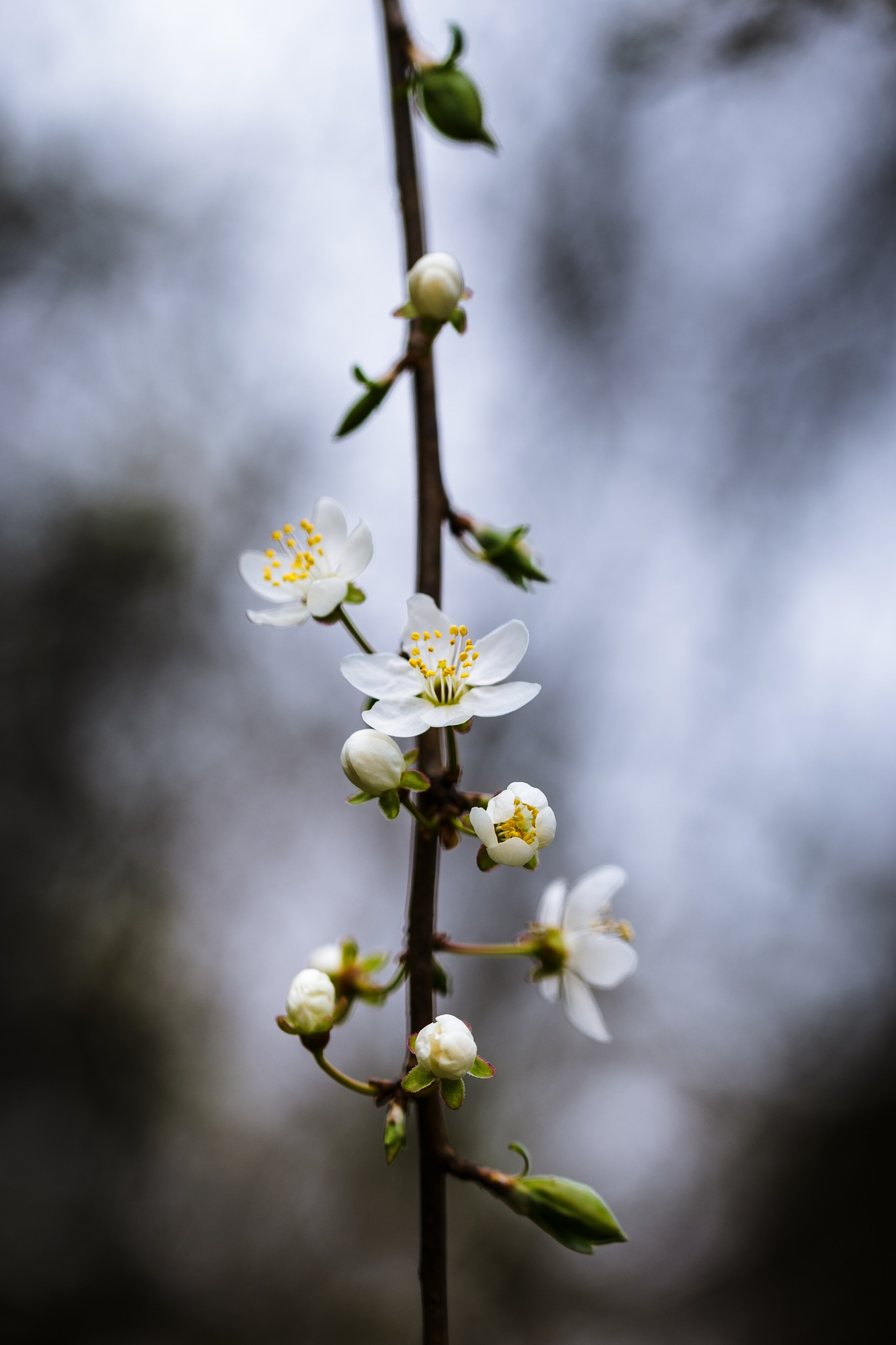 Prunus by Samuel Pettina