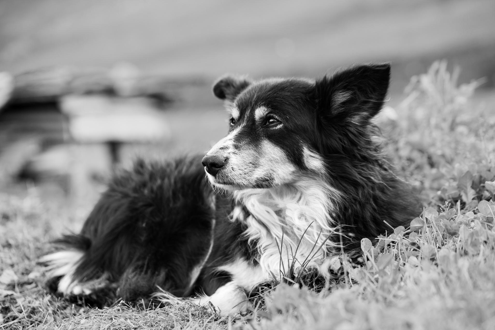 Taîs, the shepherd dog by Samuel Pettina