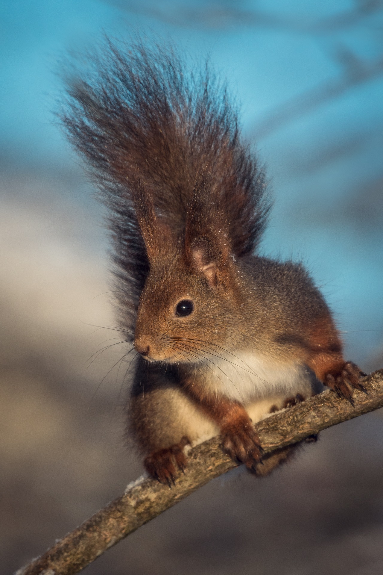Squirrel by Johnny