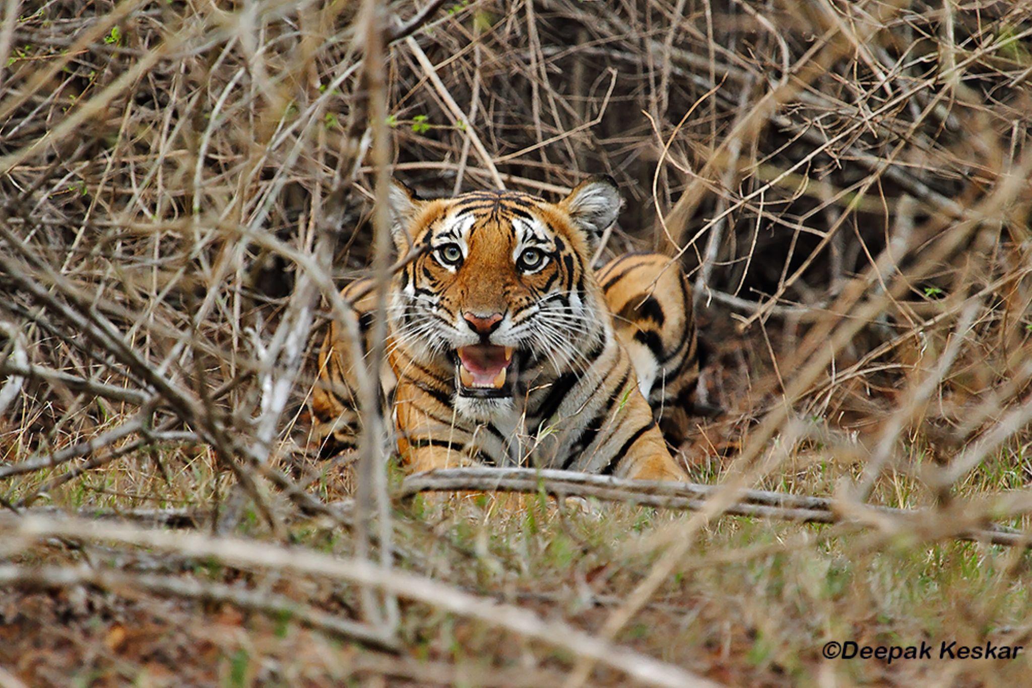 Snarling Tigress by Deepak Keskar