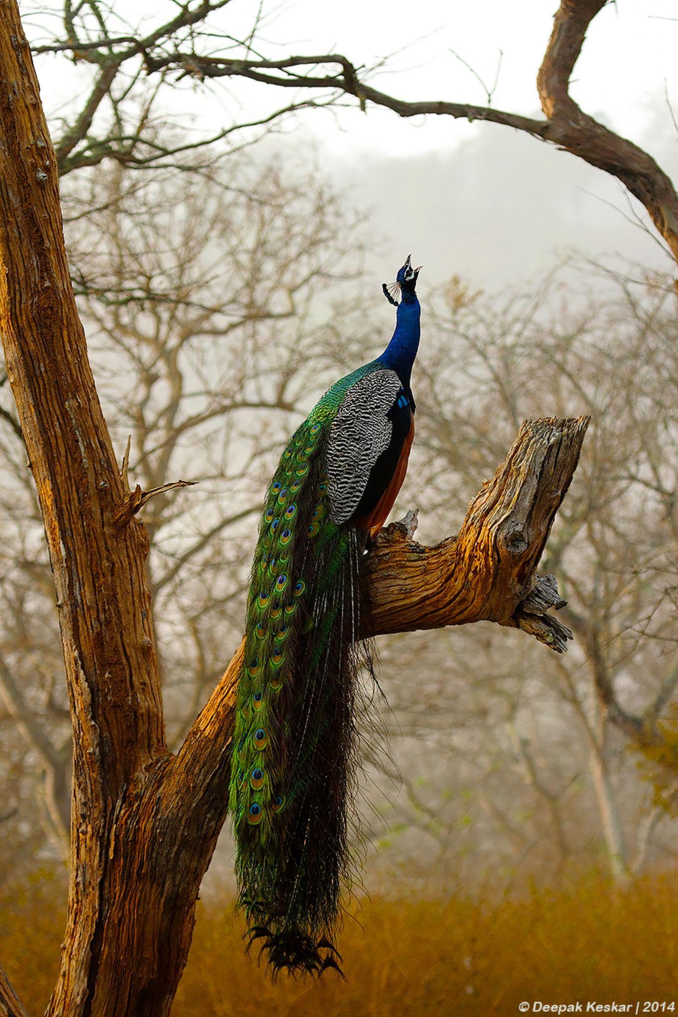 Singing Peacock by Deepak Keskar