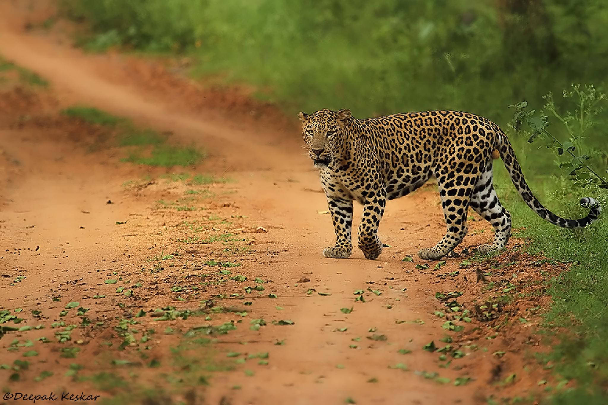 Leopard Crossing by Deepak Keskar
