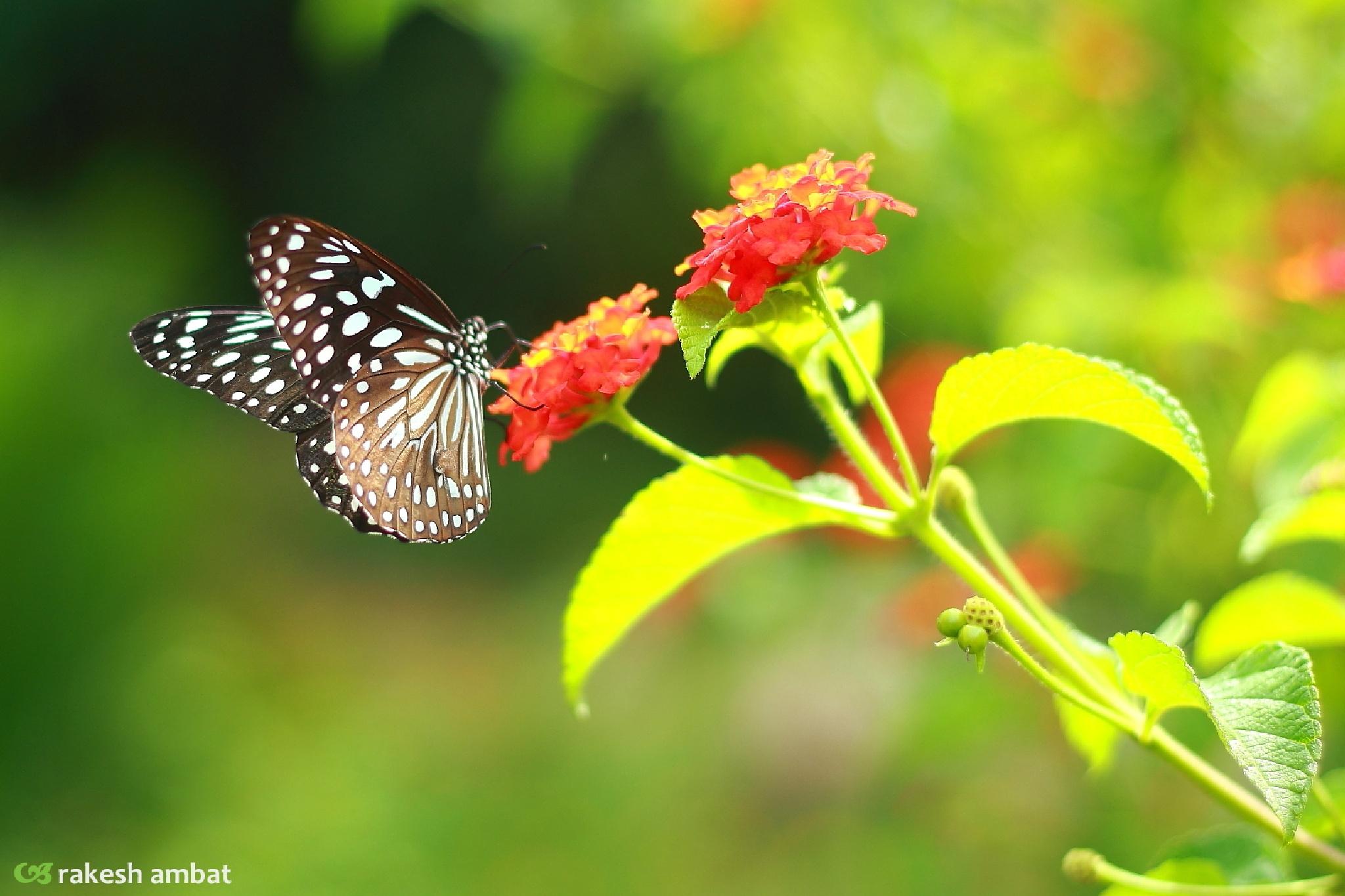 Butterfly.. by Rakesh Ambat