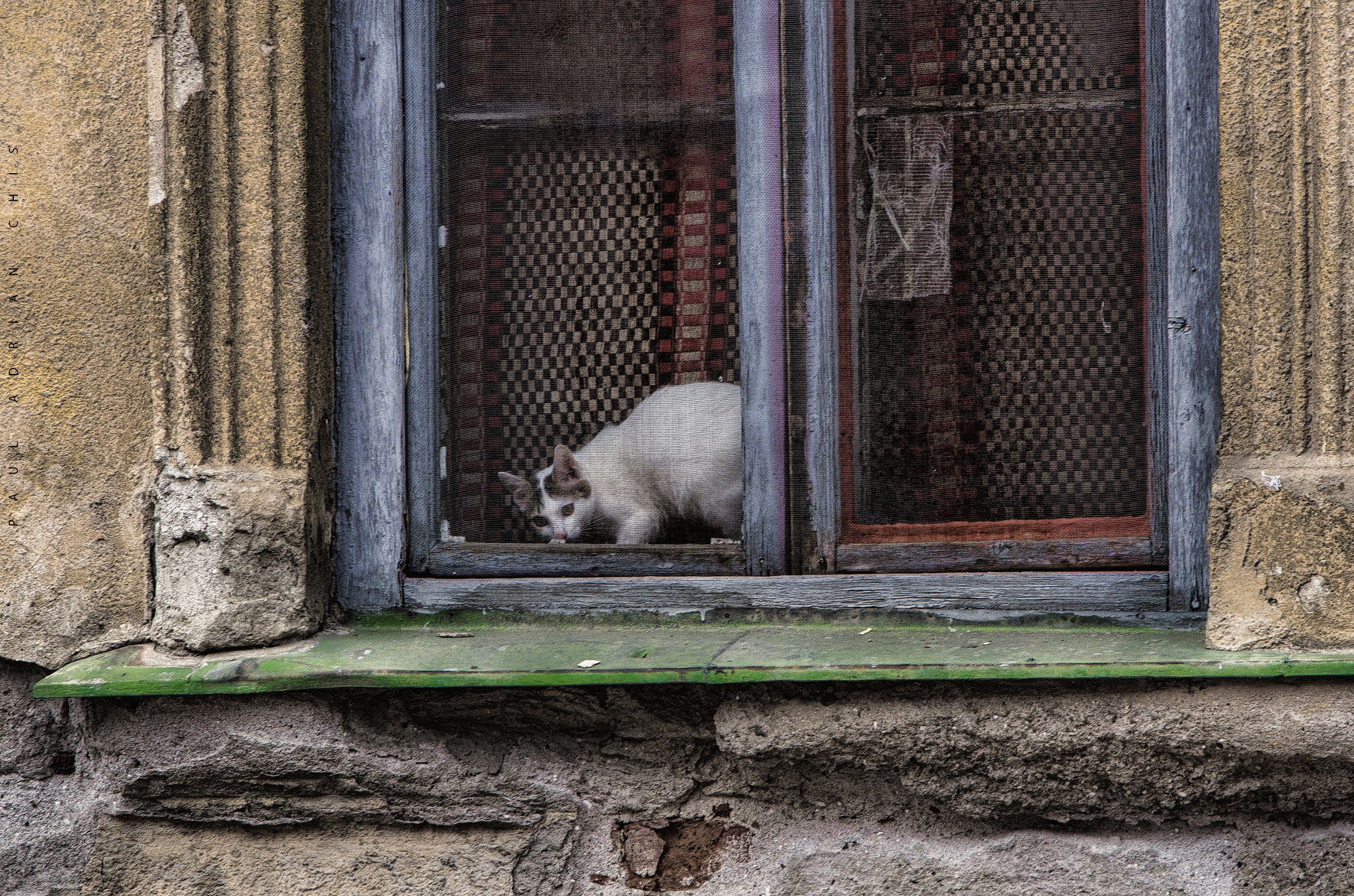 The cat and blue window ... by Paul Adrian Chis