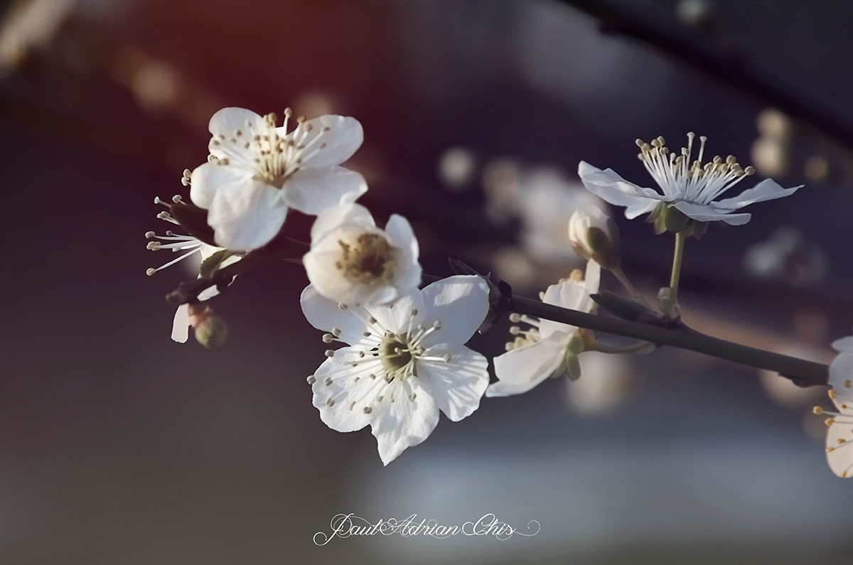 White Flowers  by Paul Adrian Chis