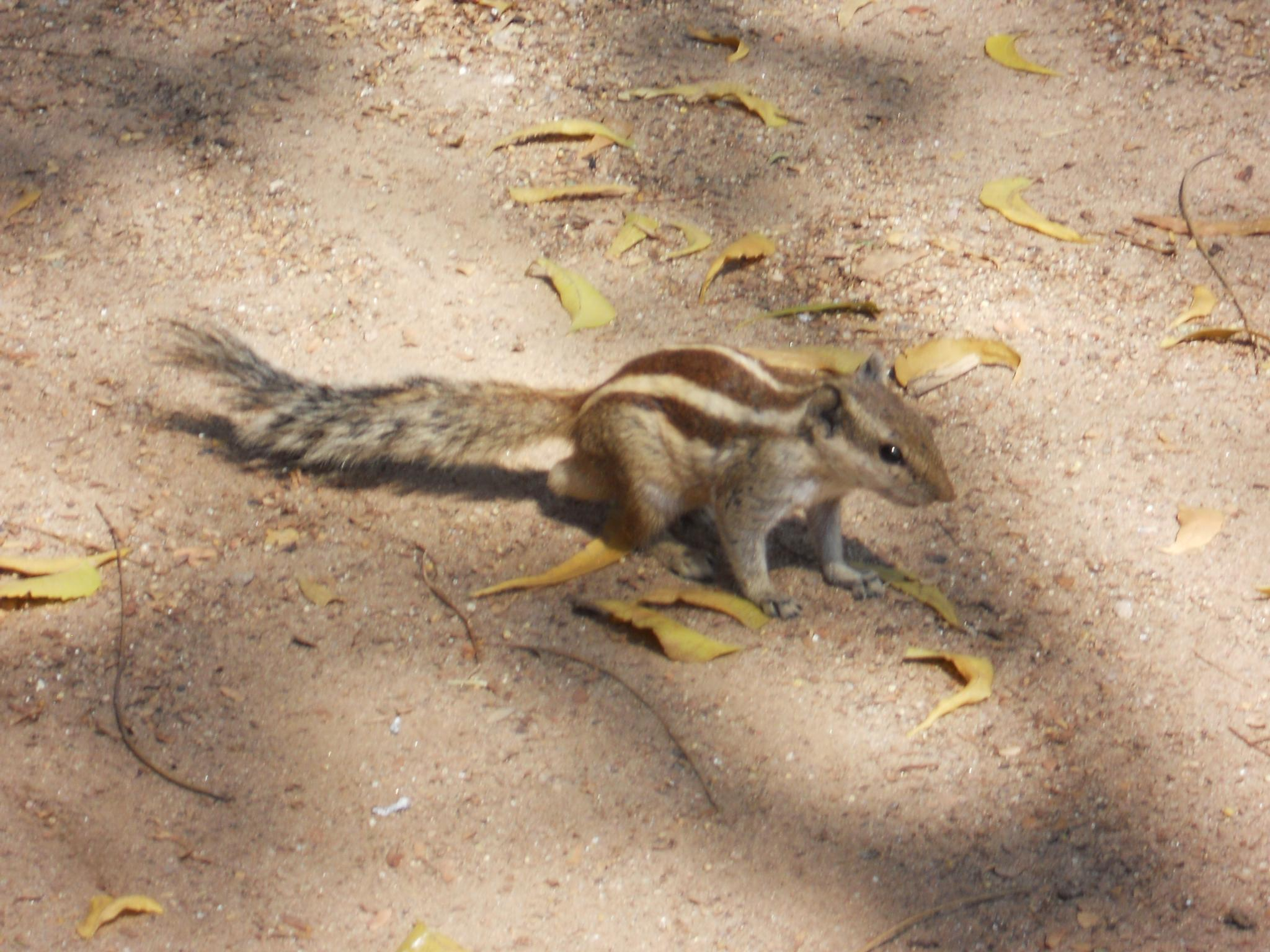 Indian palm squirrel by Danny Rawat321