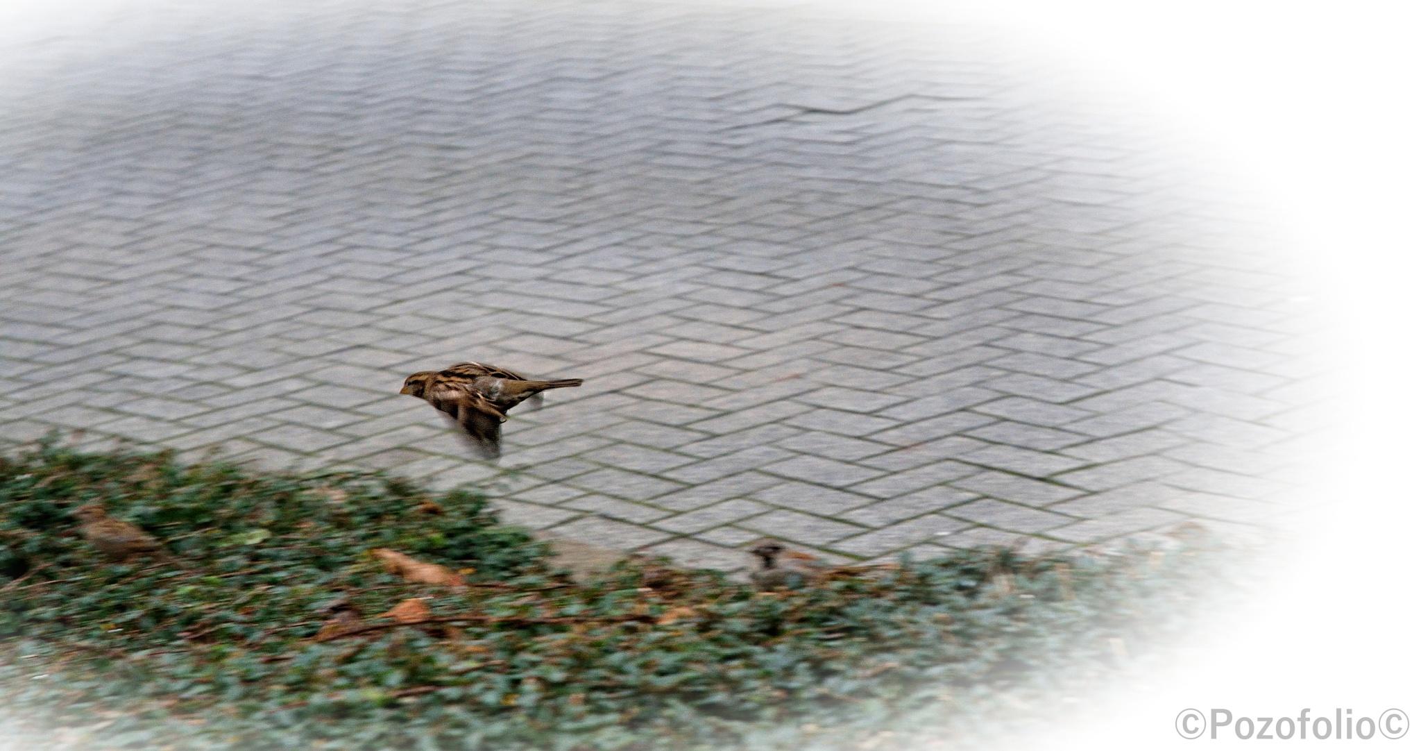 The messenger bird  by Pozofolio