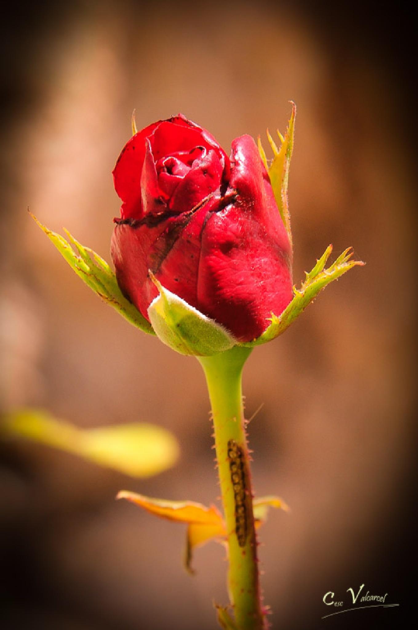Rose by Cesc Valcarcel