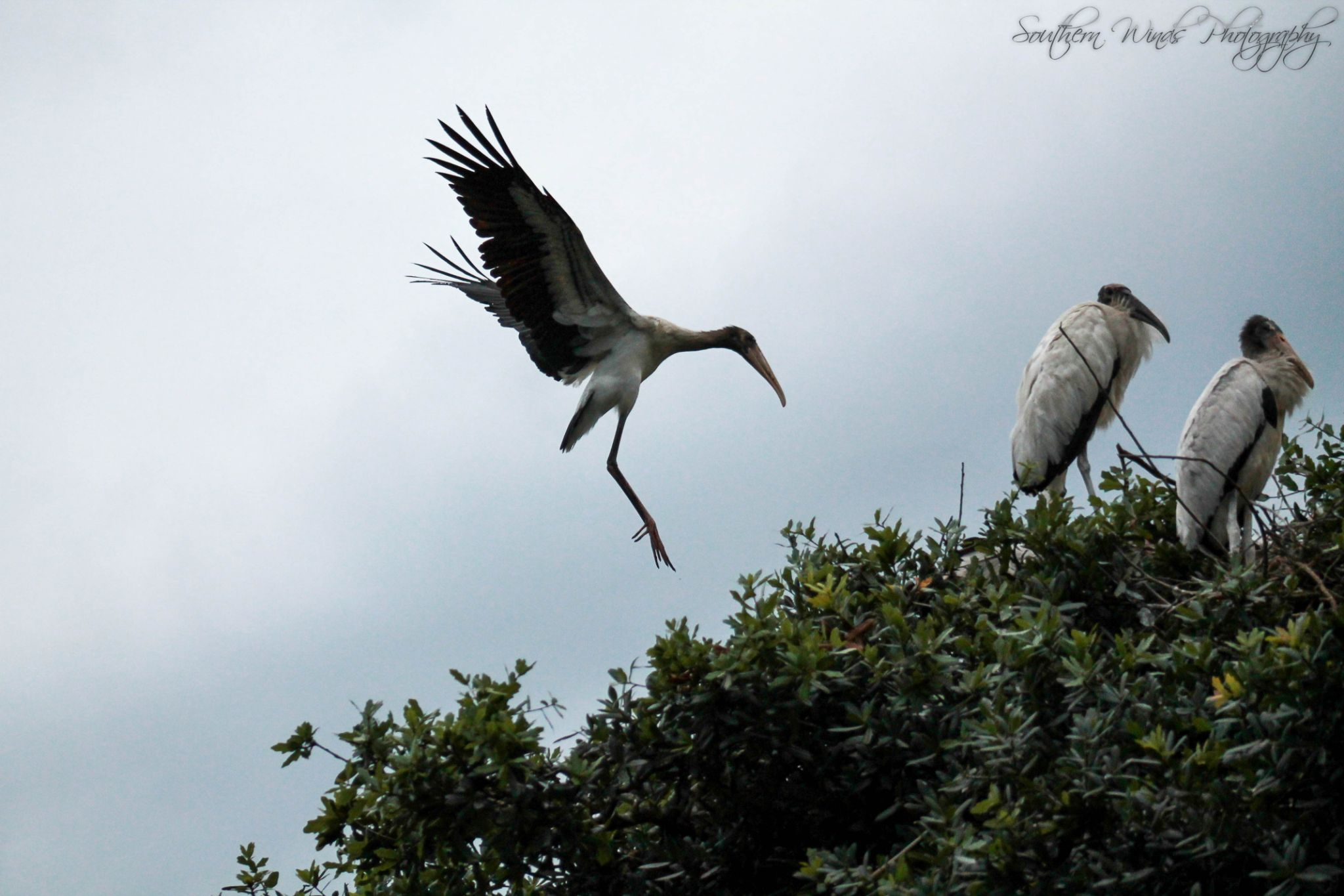 Wood Stork coming in for a landing by Michele Deadwyler
