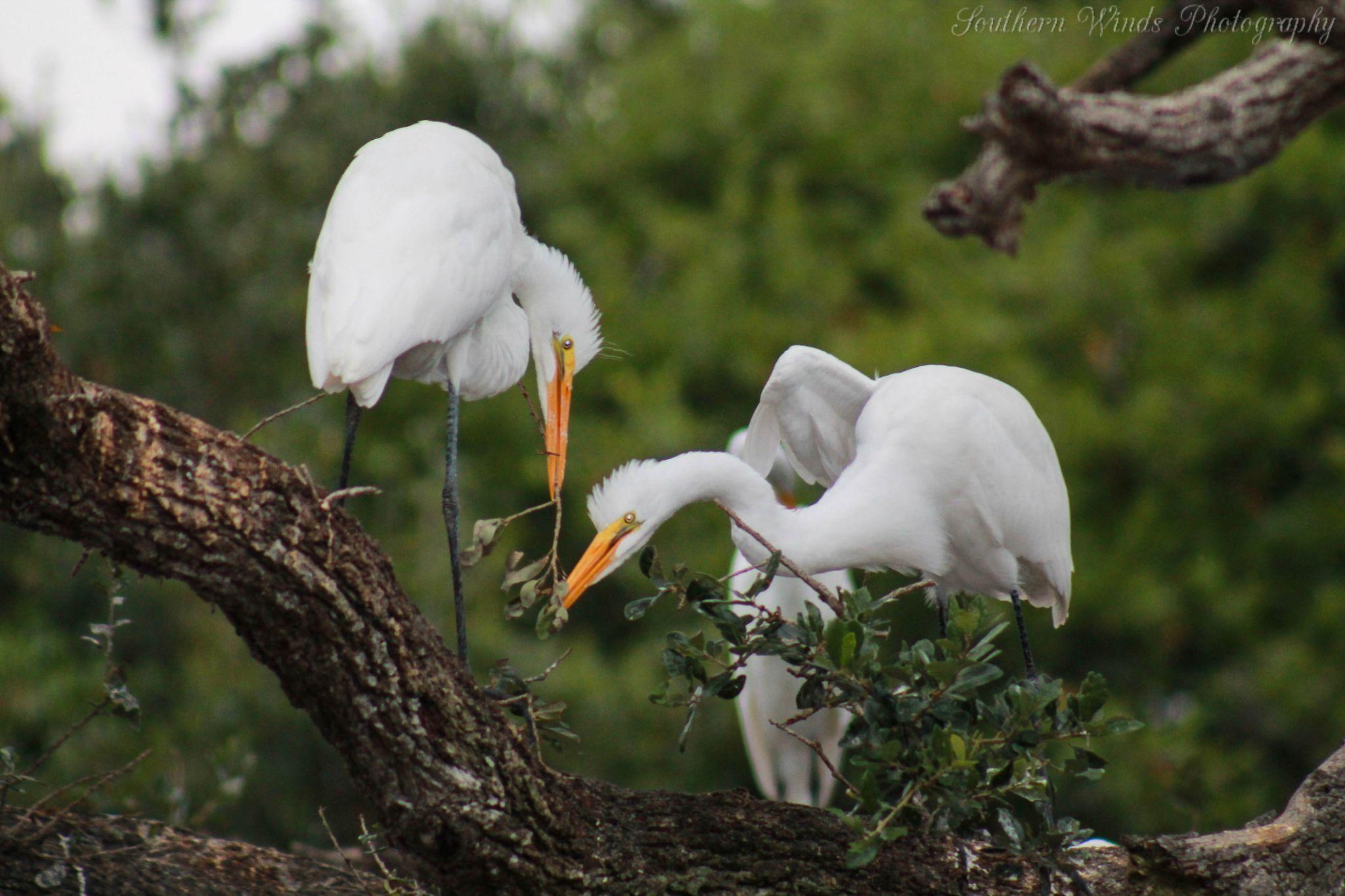 Great Egrets by Michele Deadwyler
