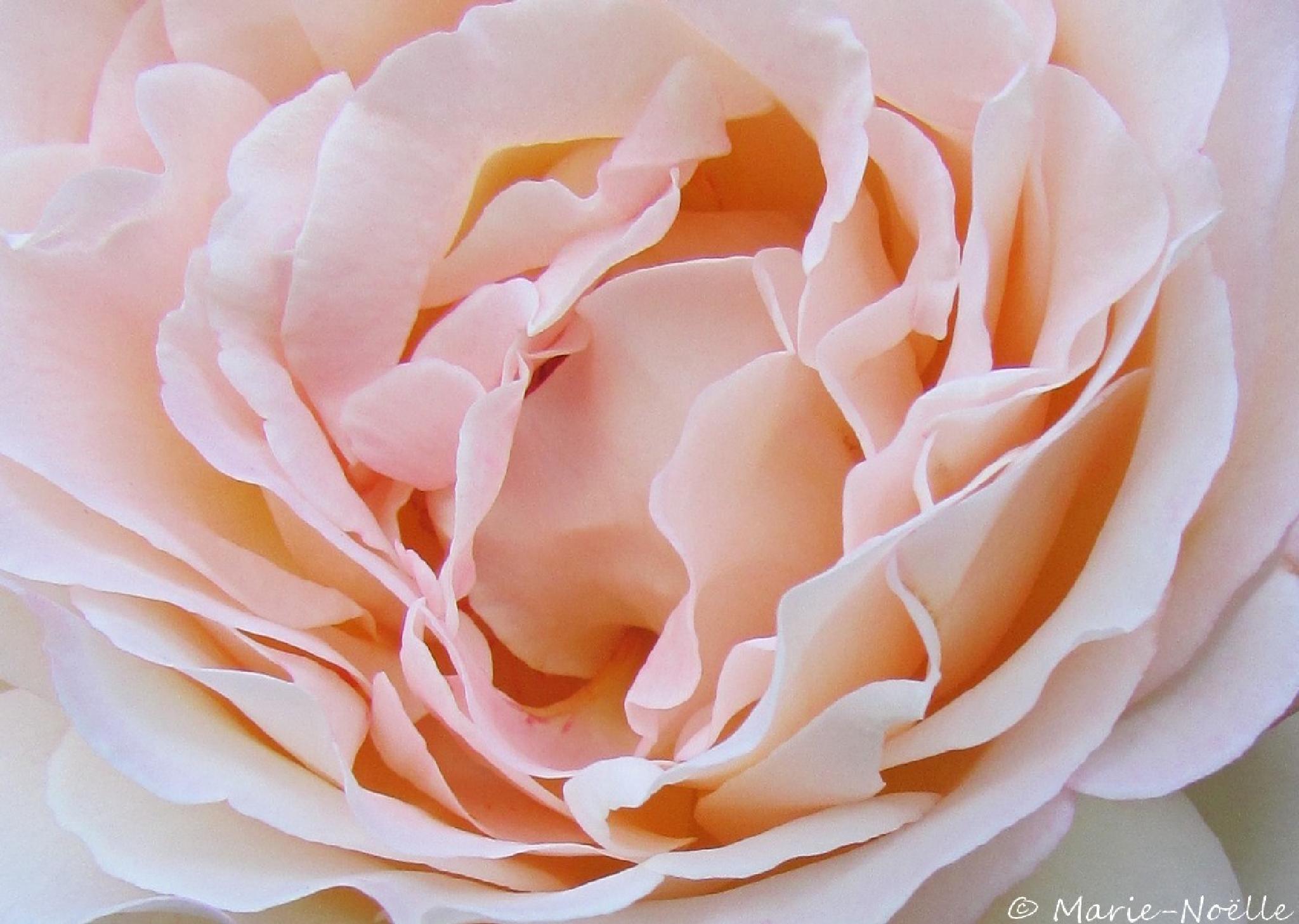 Photo in Macro #rose #macro #flower