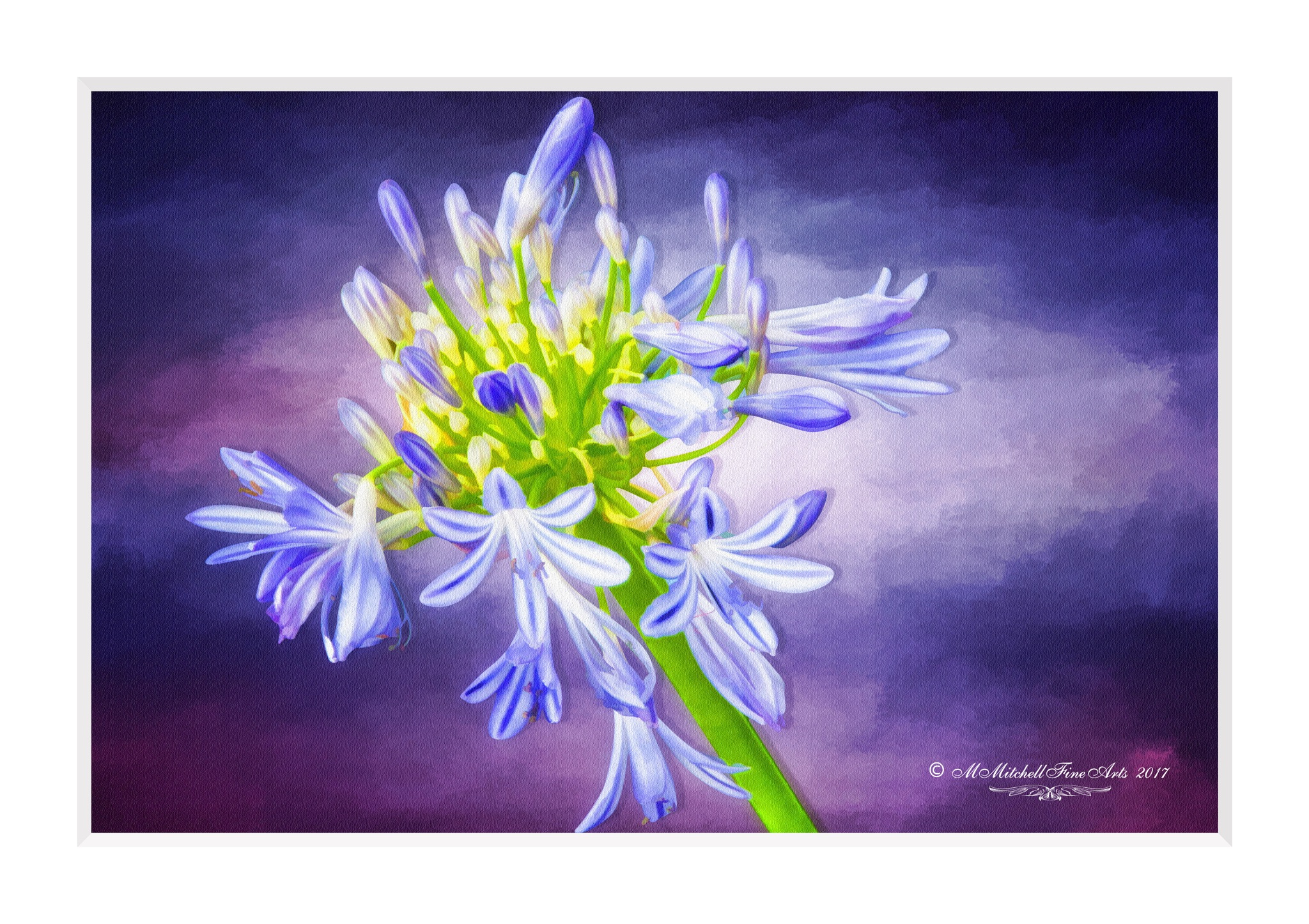 Agapanthus by Mary Mitchell