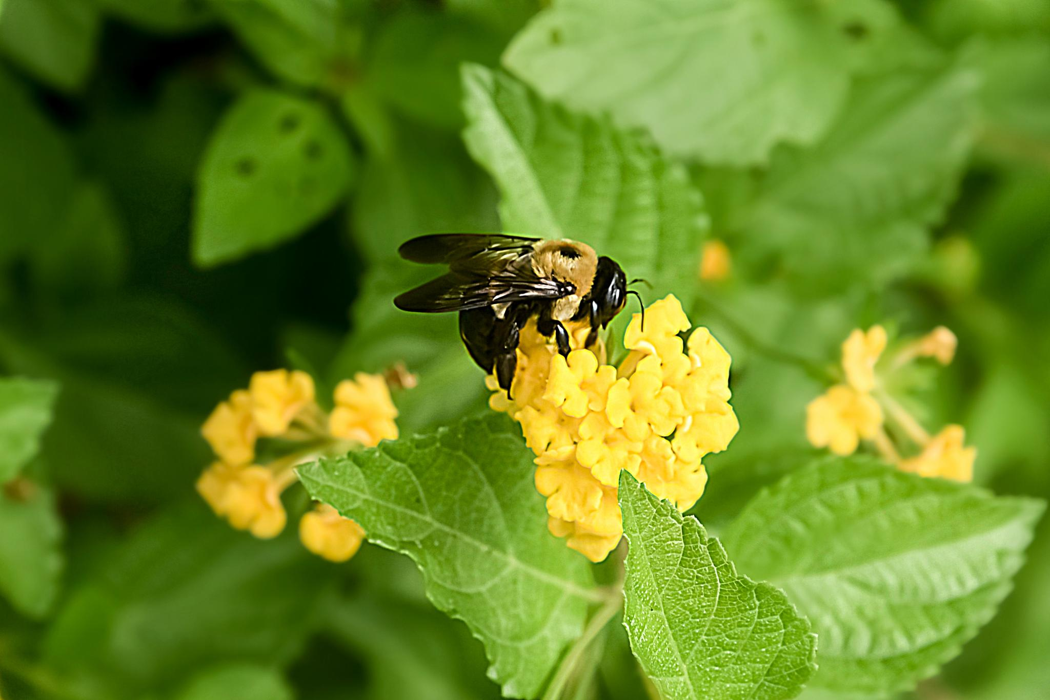 Bumble bee! by Patricia