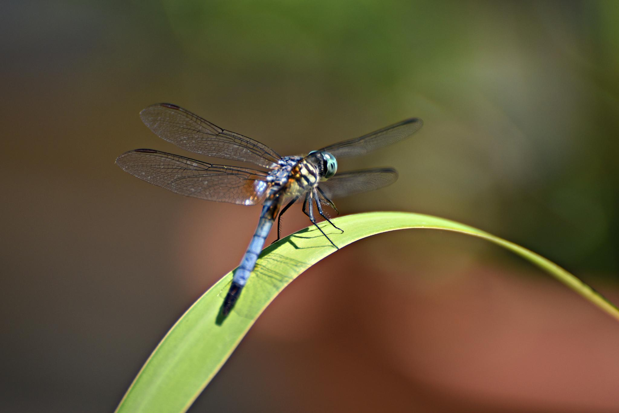 Dragon Fly! by Patricia