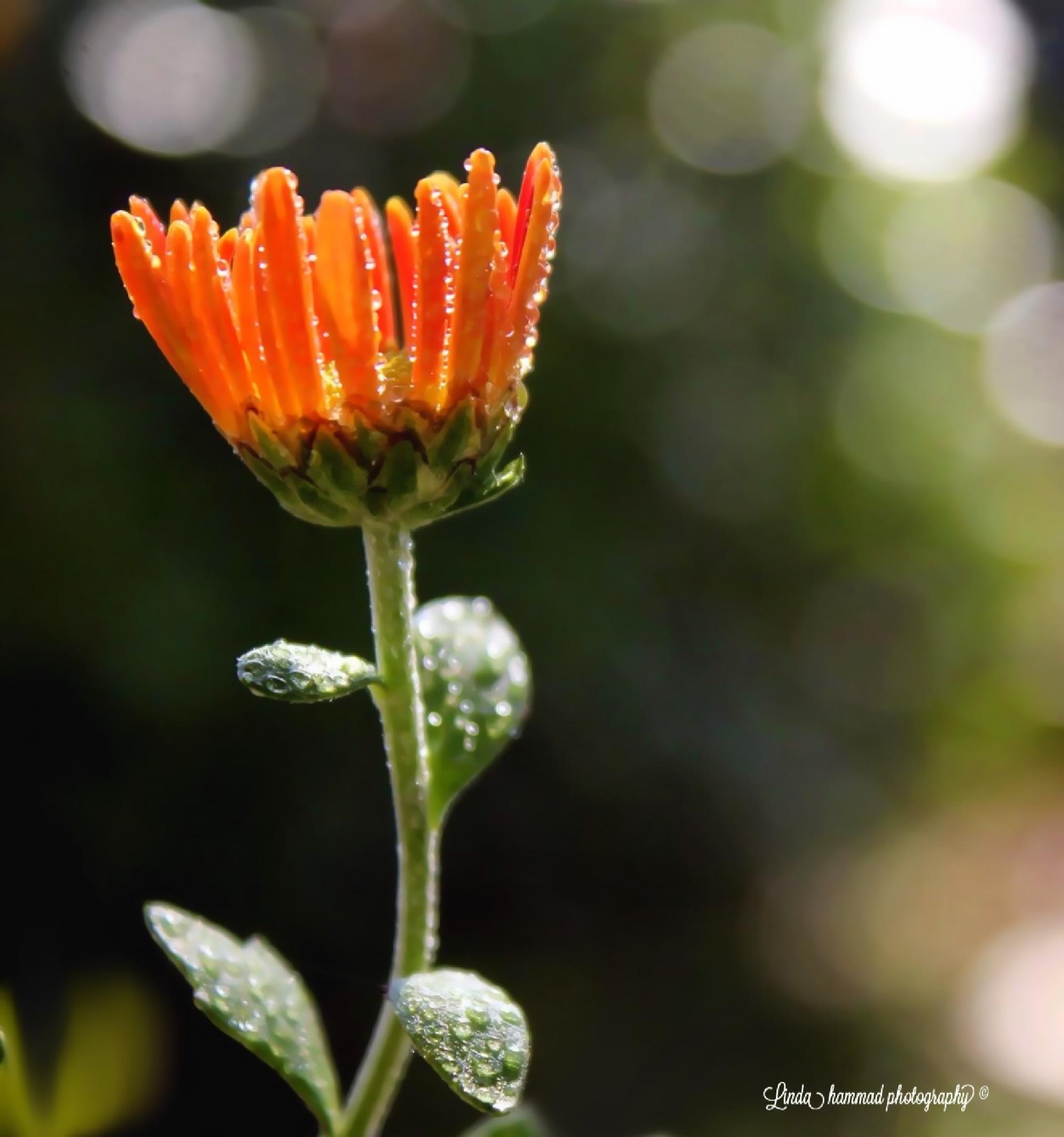 Orange by Linda Hammad