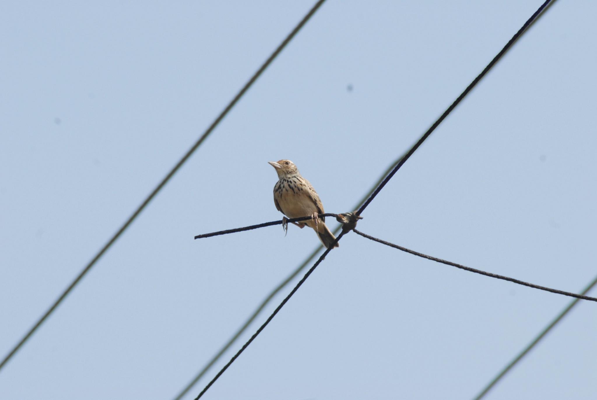 birdie by sarin