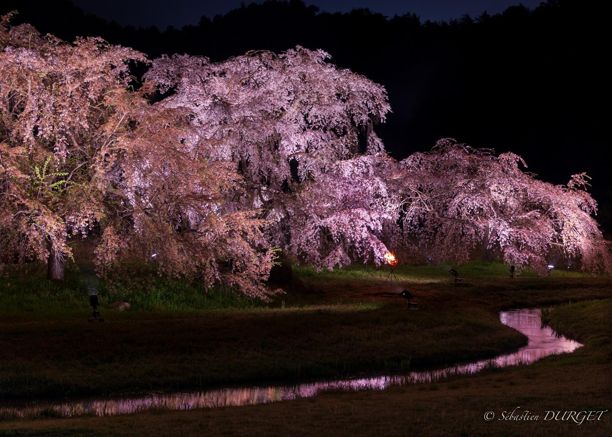 Small river in front Sakura night by Sébastien