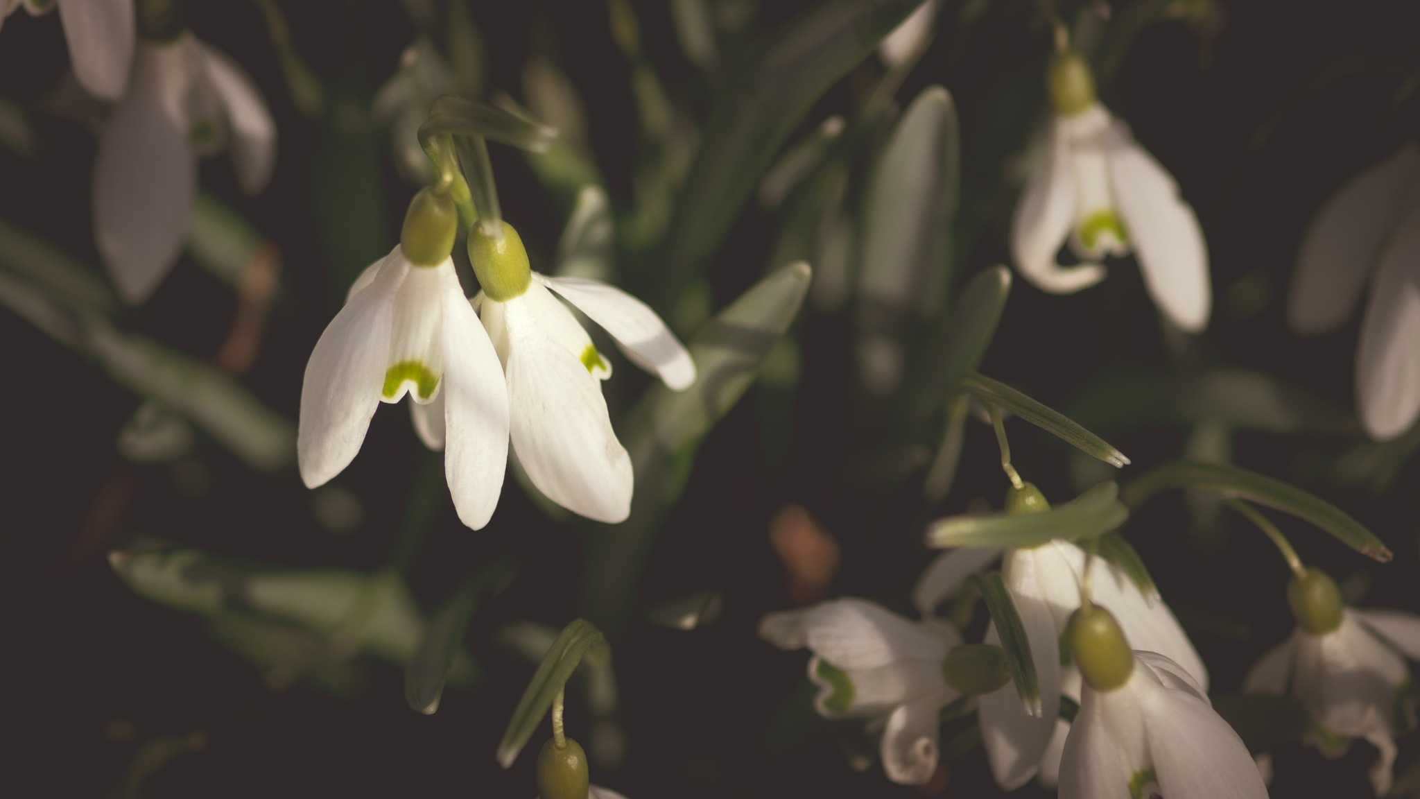 Snow drops by RoonZ
